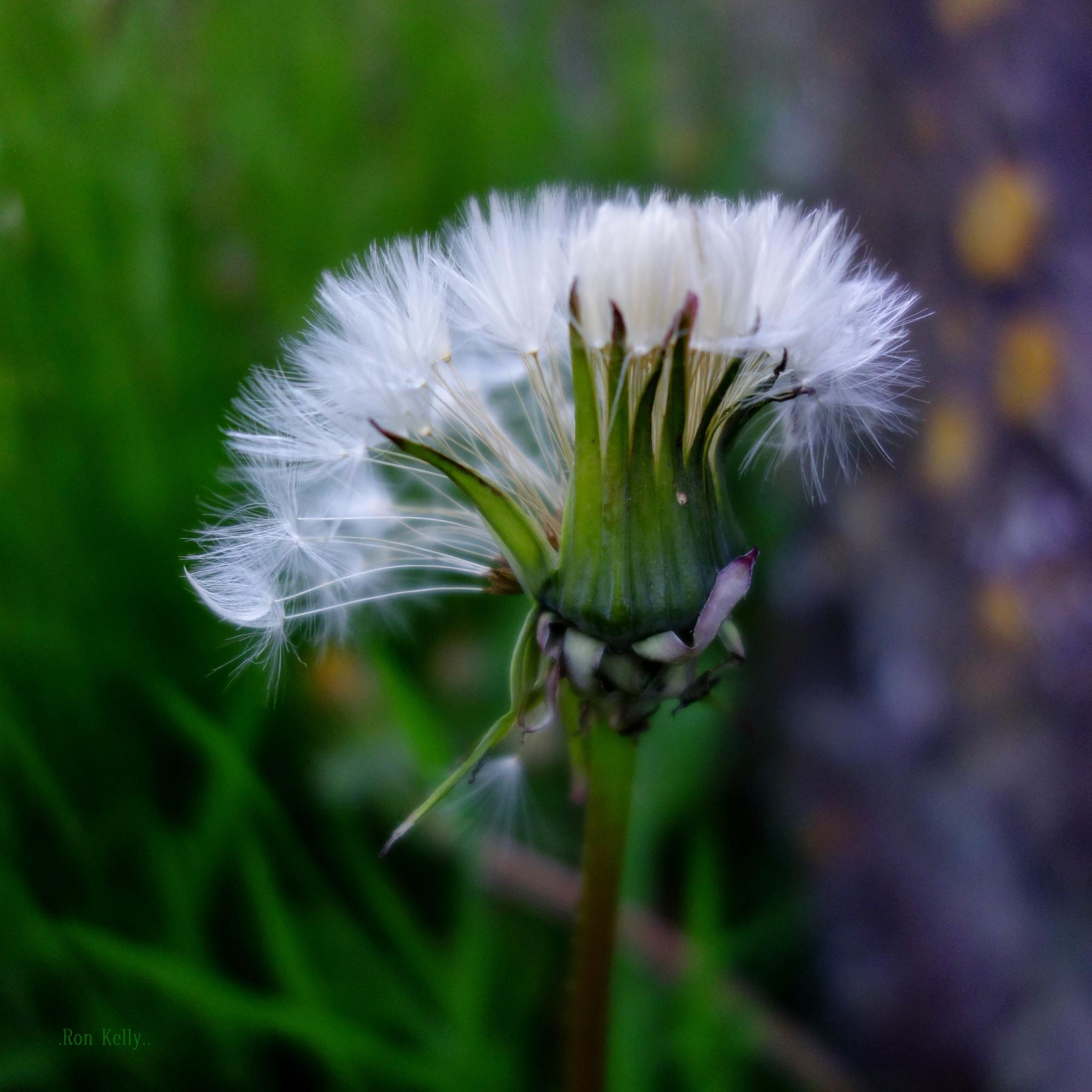 Dandilion Seeding by RonKelly