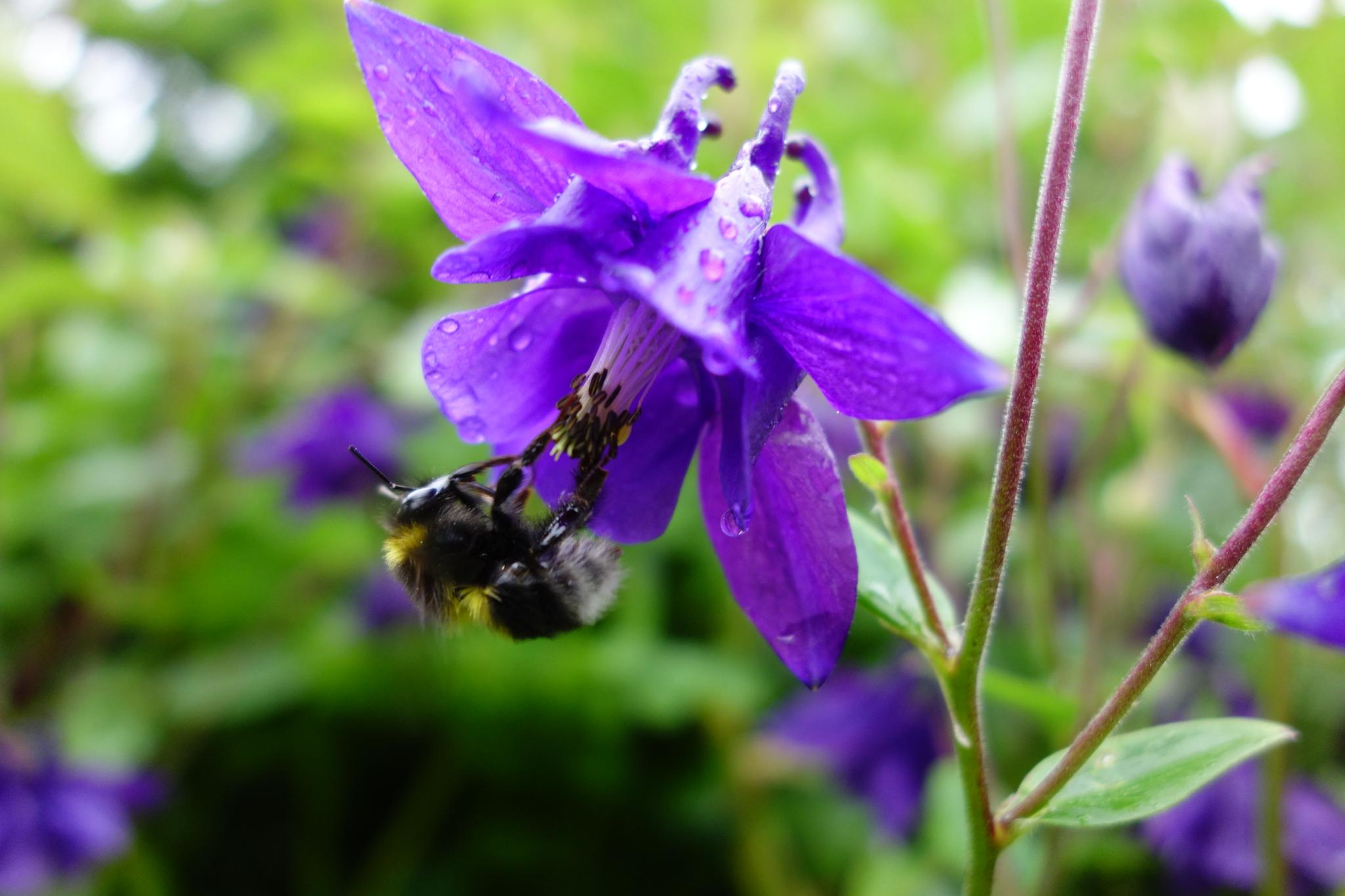 Aquilegia Bertlonii & Bumble Bee by RonKelly