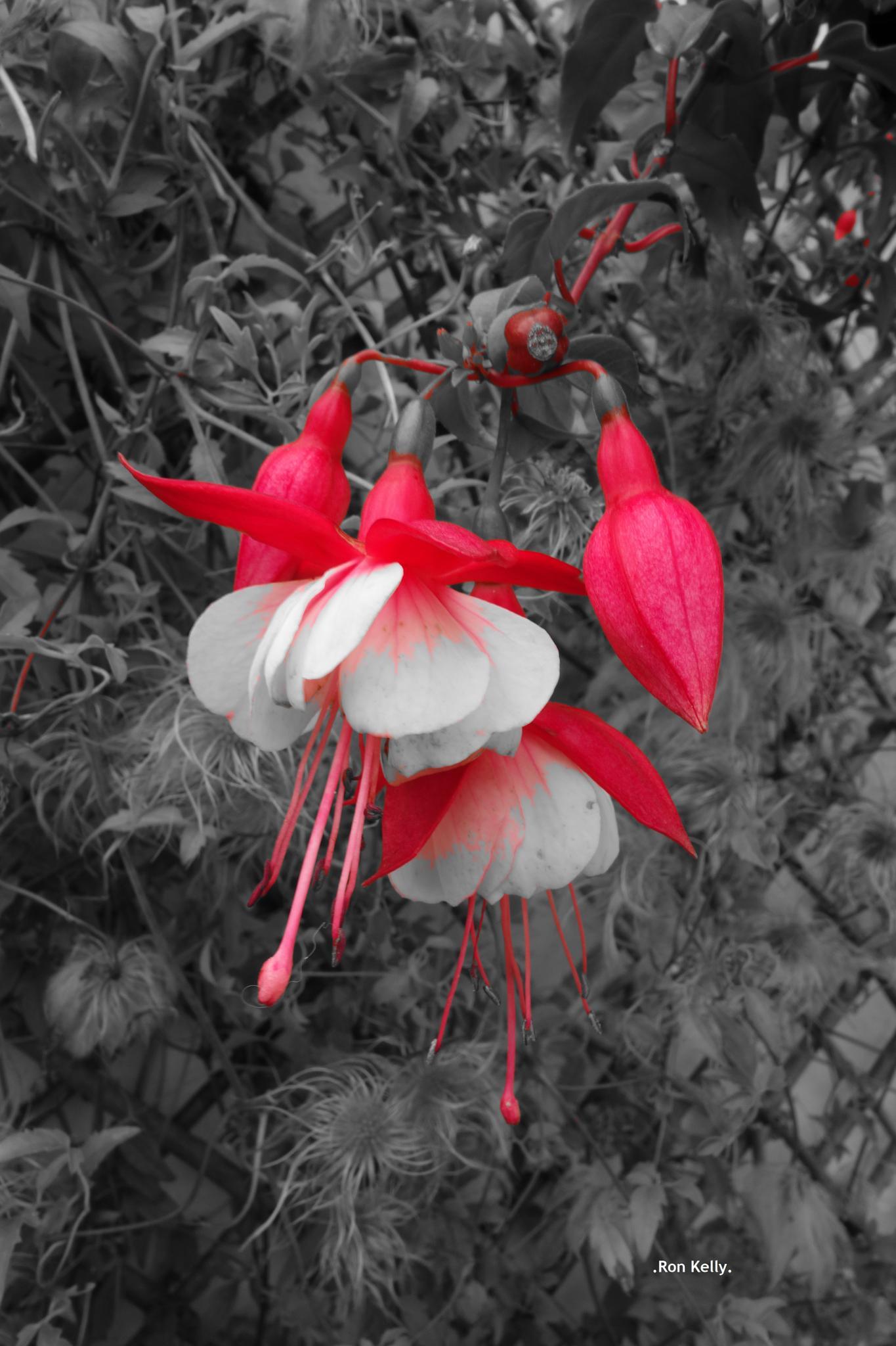 Fuschia... Red & White... Black & White by RonKelly