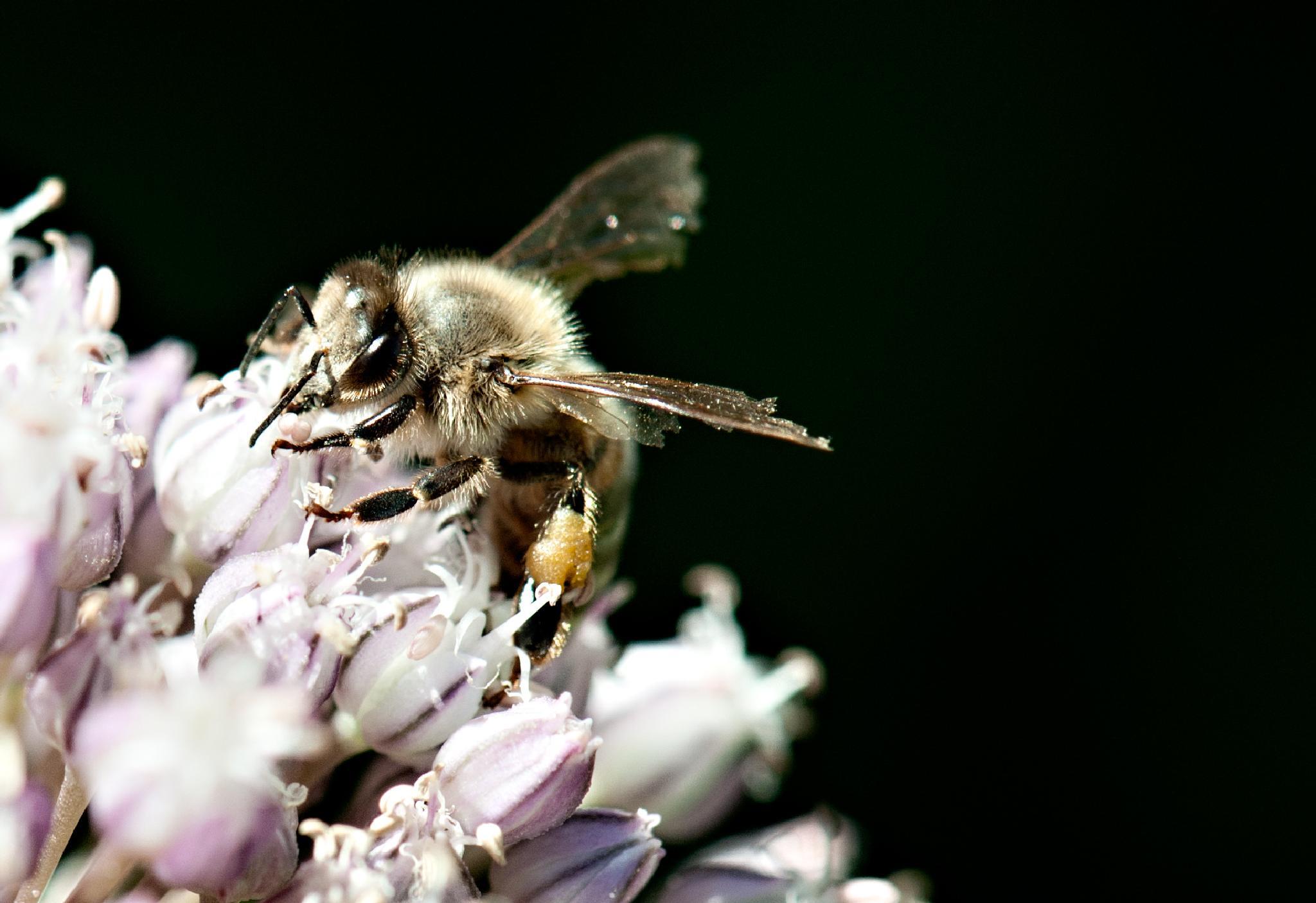Bee Pollination by Jan Hawksworth