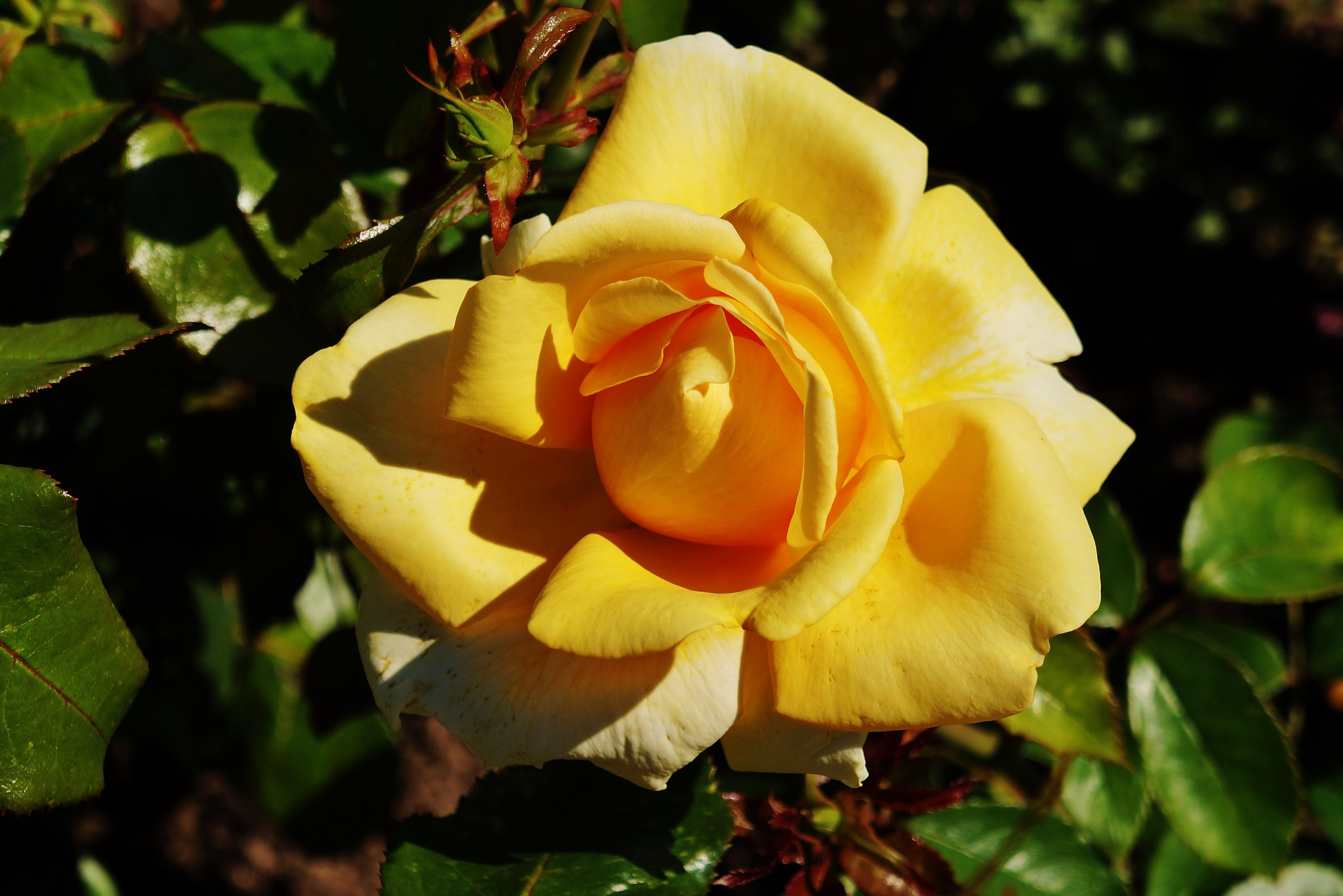 Yellow rose by rolf persson