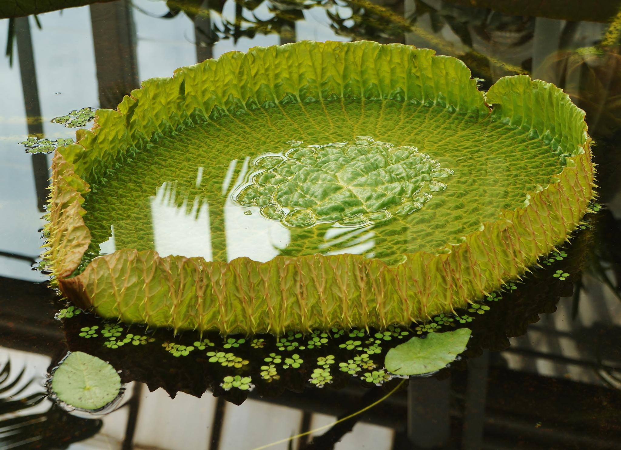 Waterlilly leaf by rolf persson