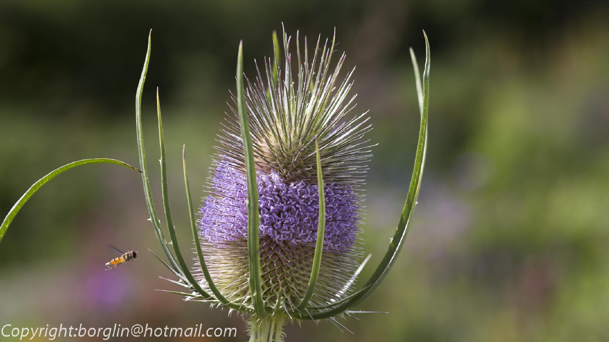 Stor växt mot liten blomfluga   Large plant against small hoverfly by Mats Borglin