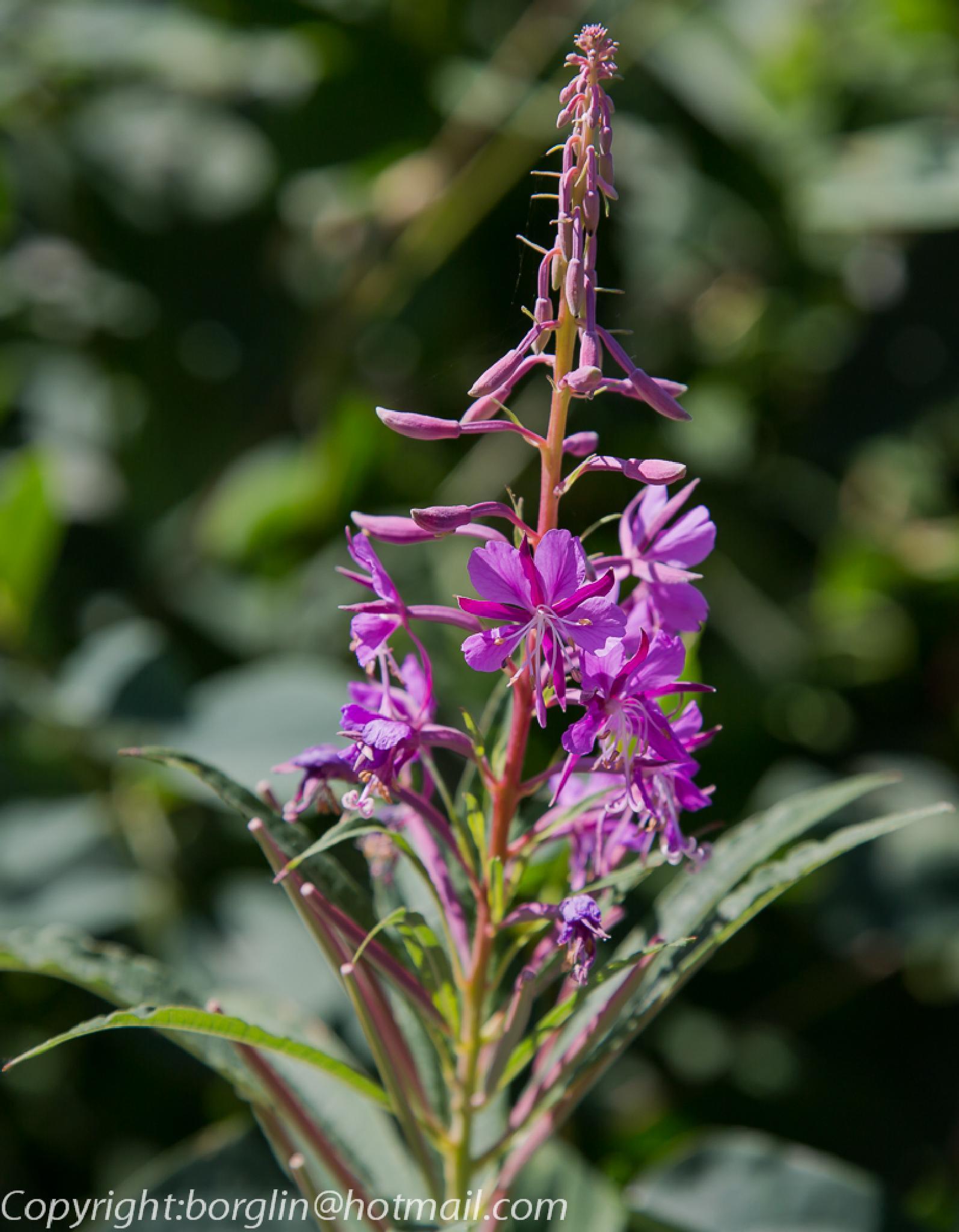 En vildväxande blomma från vägrenen      A wild flower from the roadside by Mats Borglin