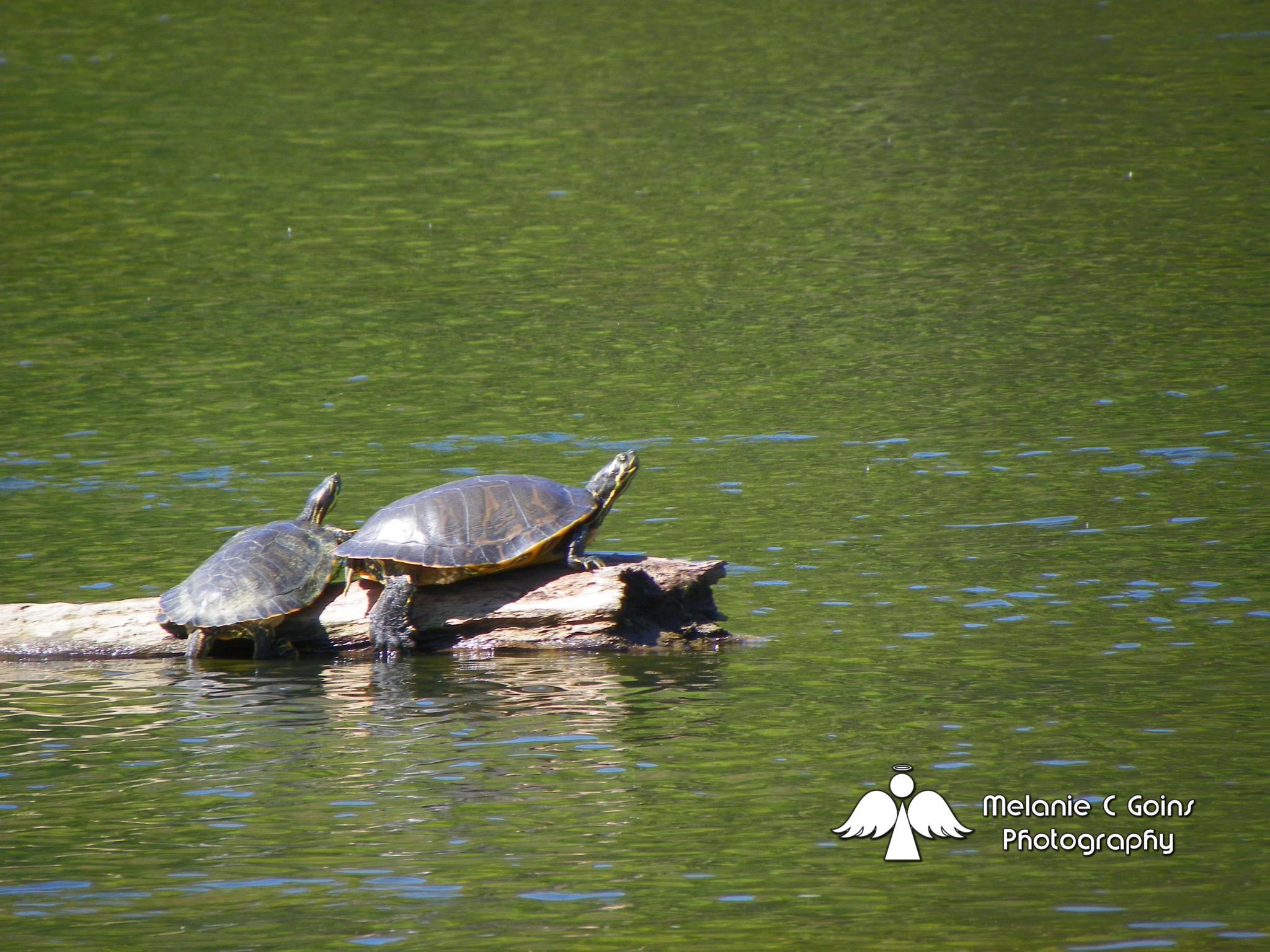 Turtles by some1sangel