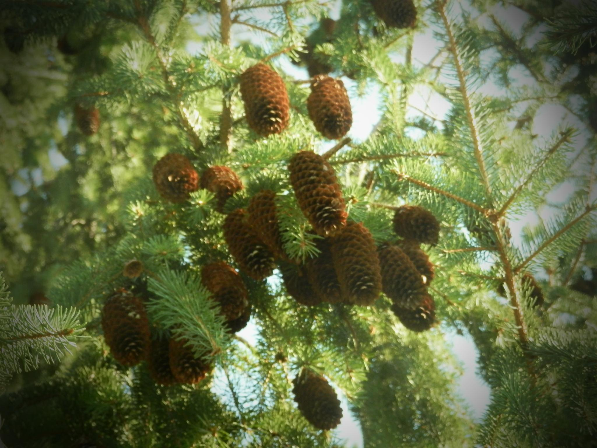 pine cones by some1sangel