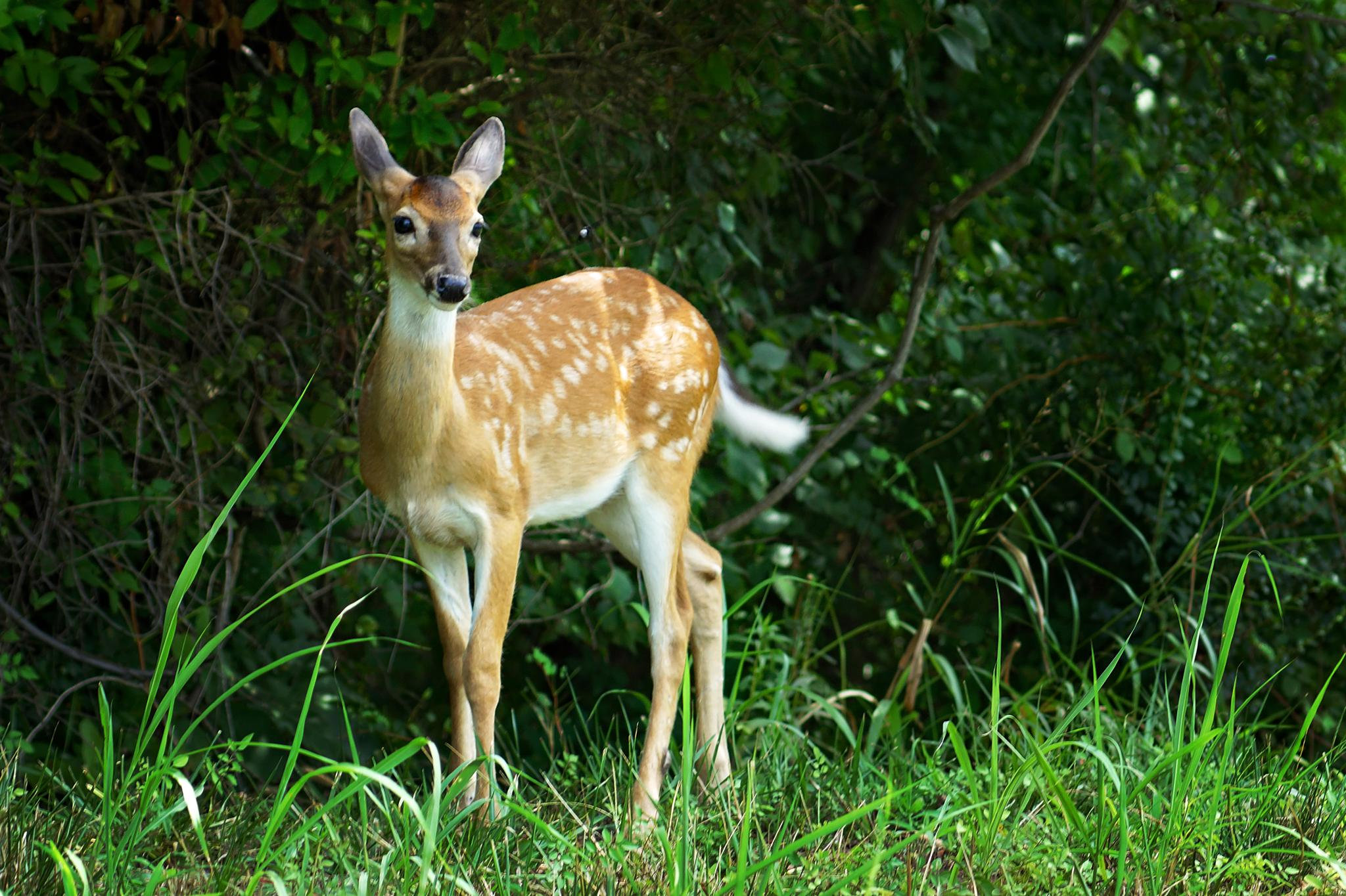 Fawn by Lisa Brooks