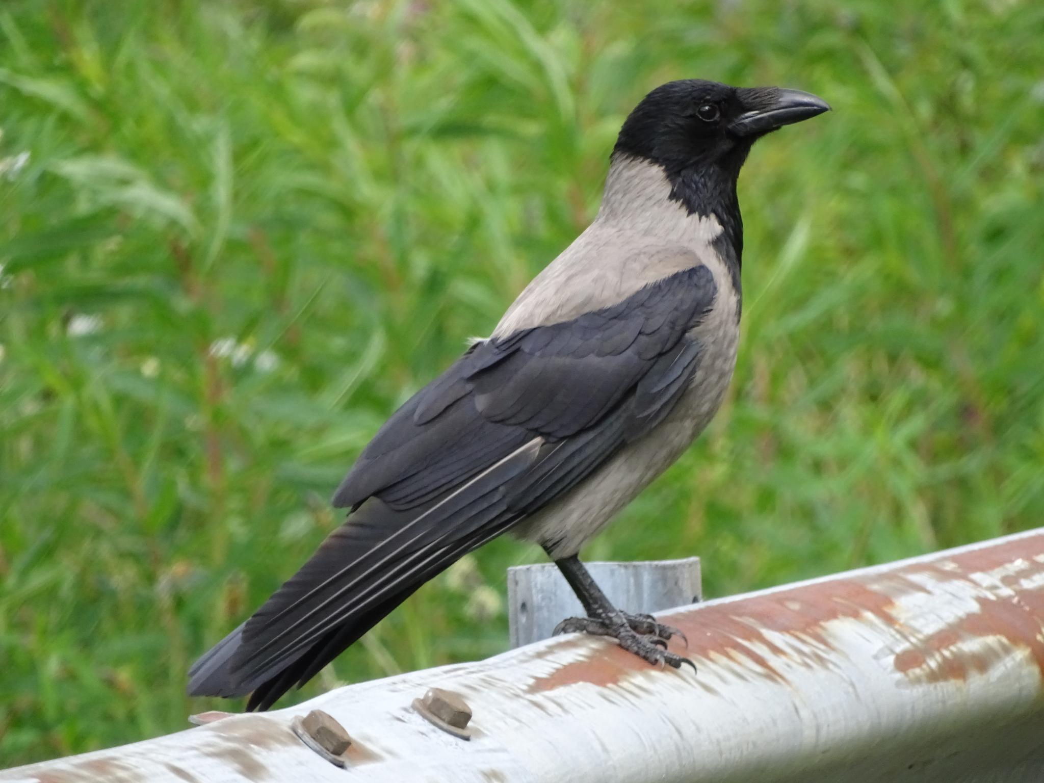 Hooded crow by jane.blackburn.58