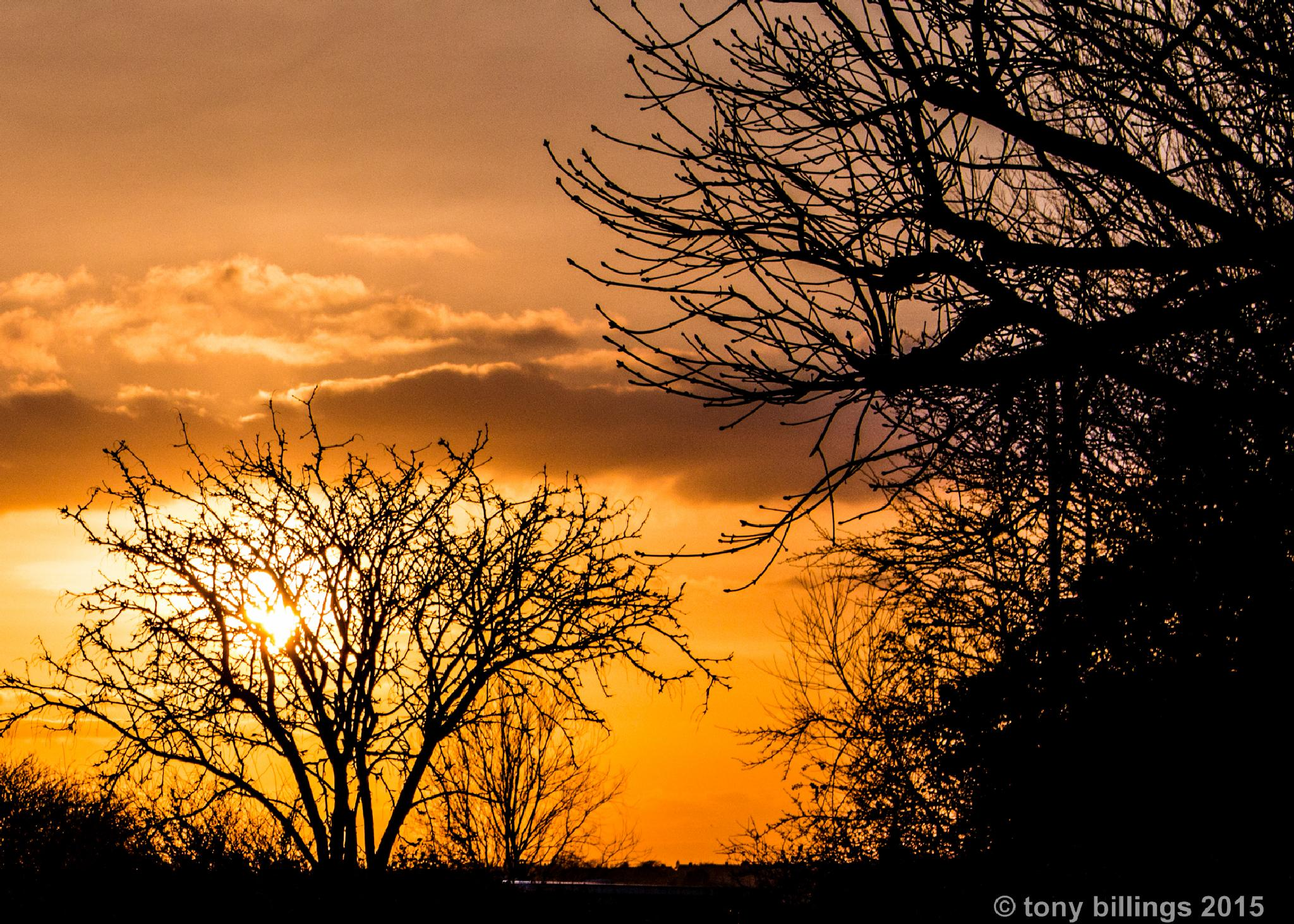 trees at sunset by tony billings