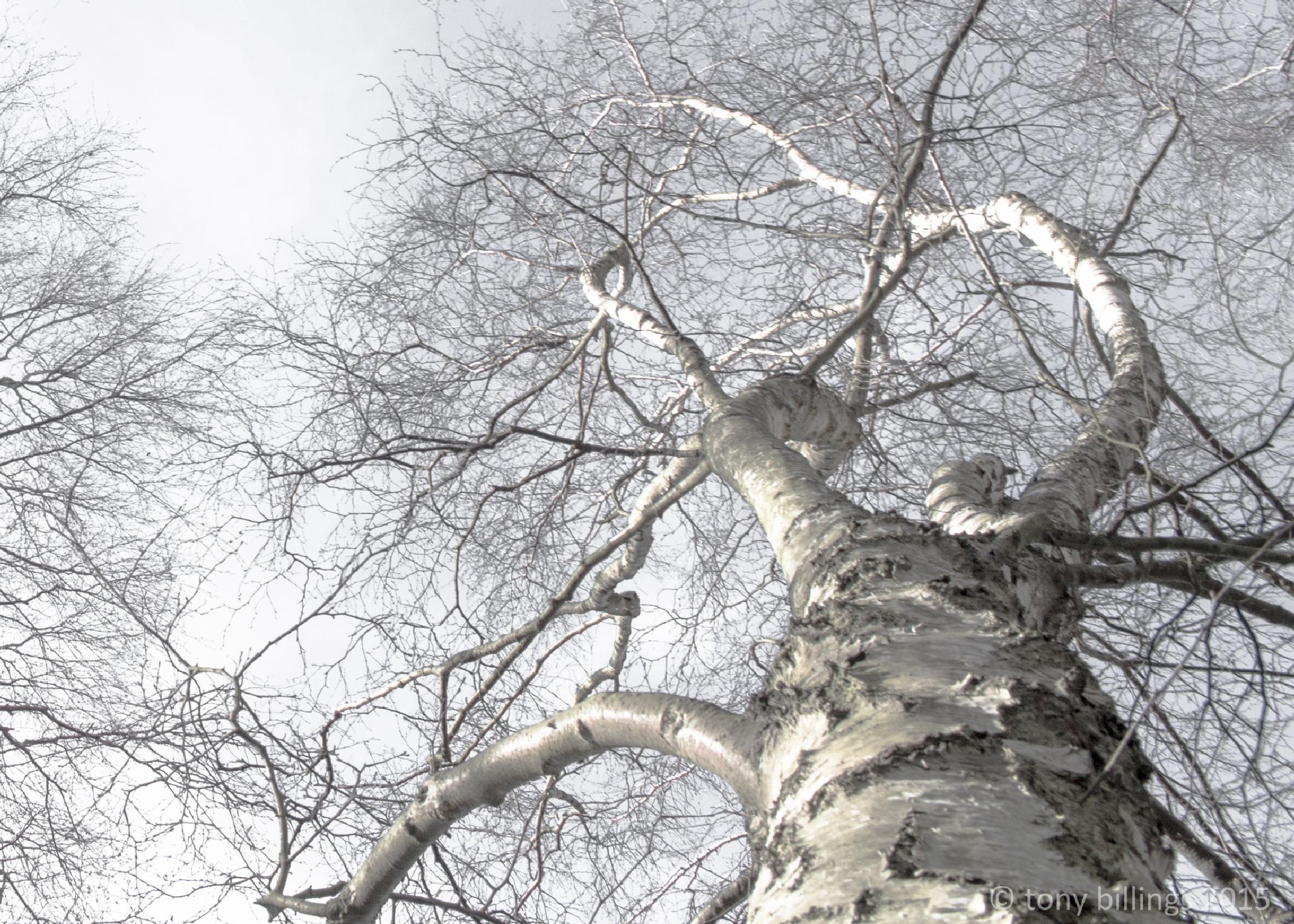 silver birch by tony billings