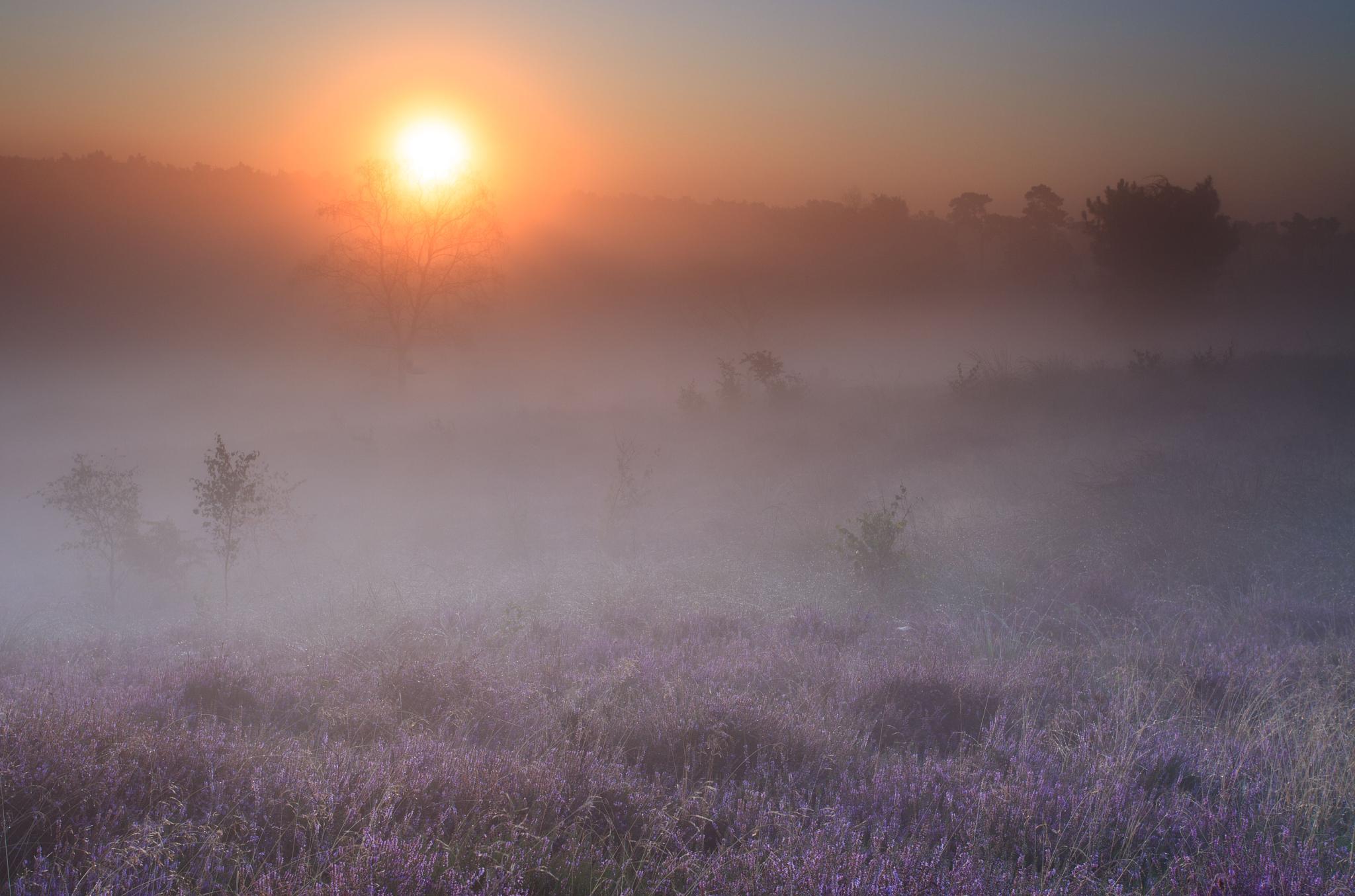 Purple dream by Hans Koster