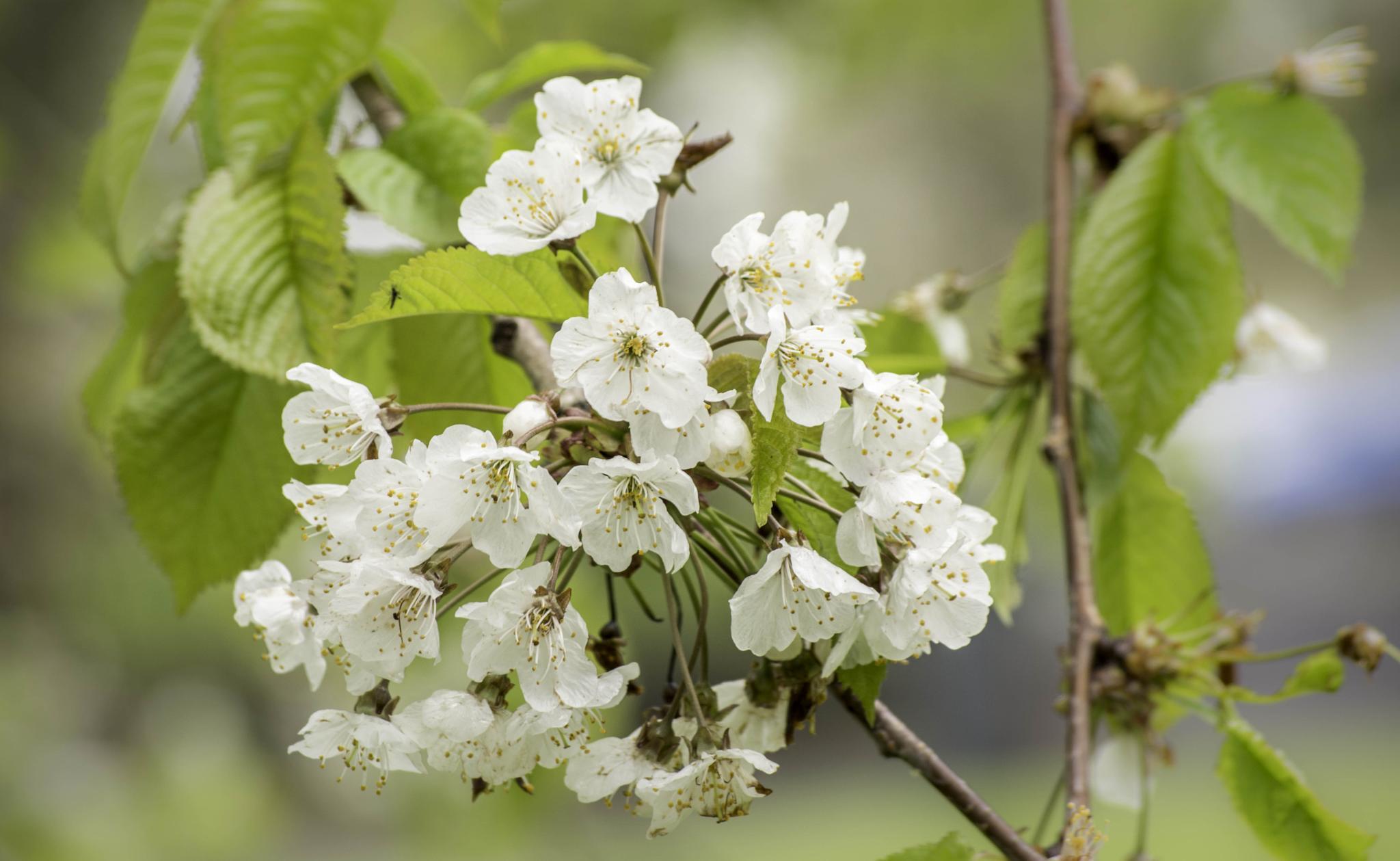 Cherry Blossom by BrianGray