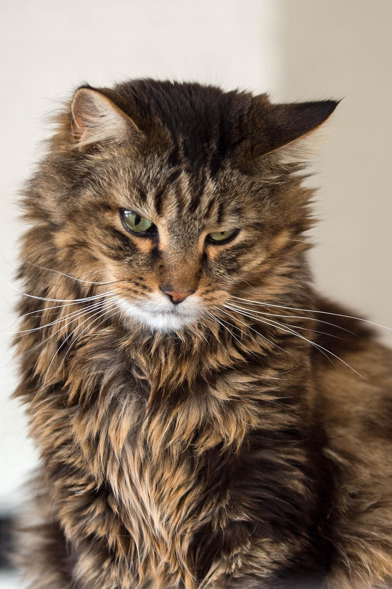 Photo in Animal #maine coon