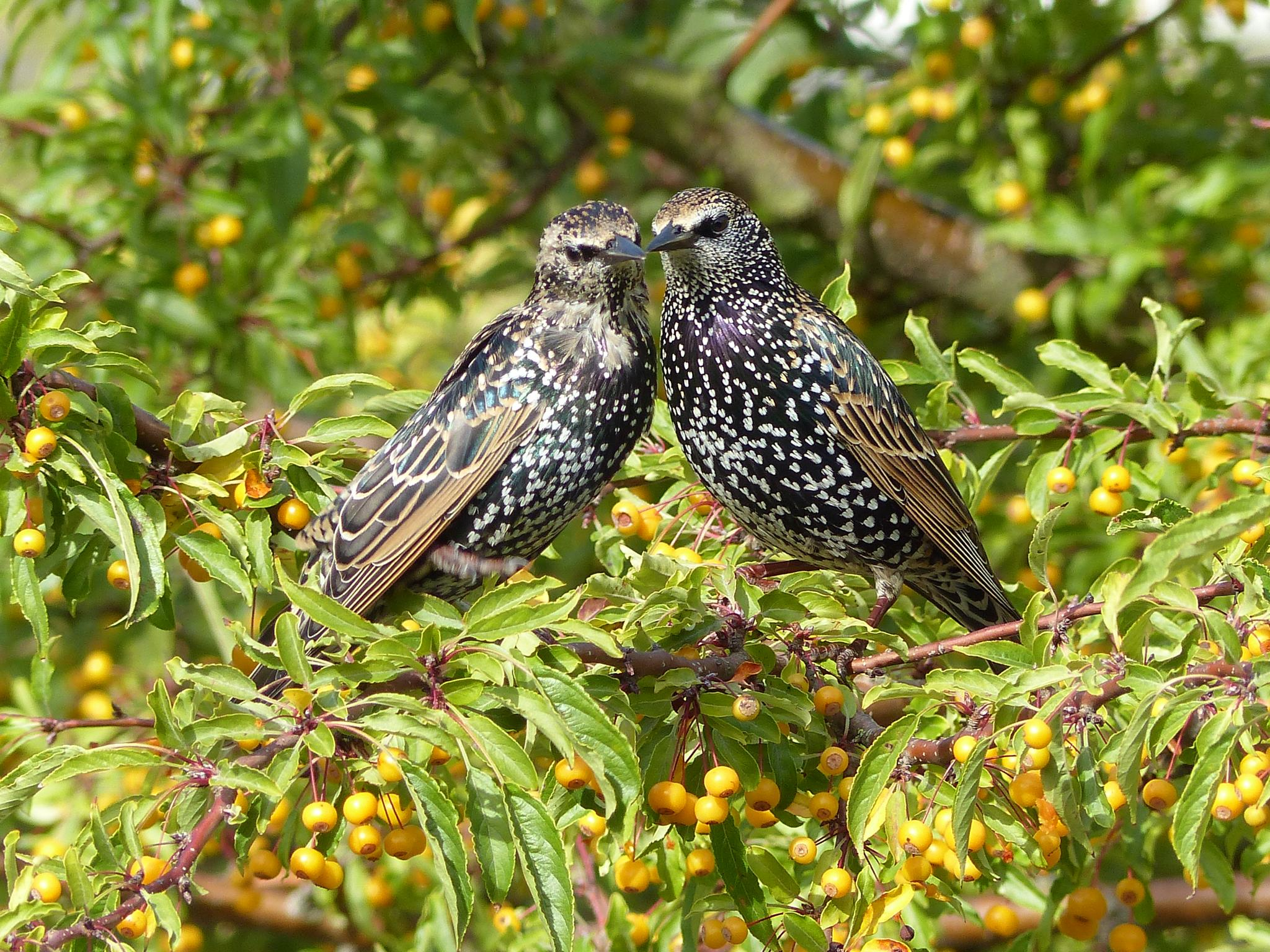 Starling by timo.hoek