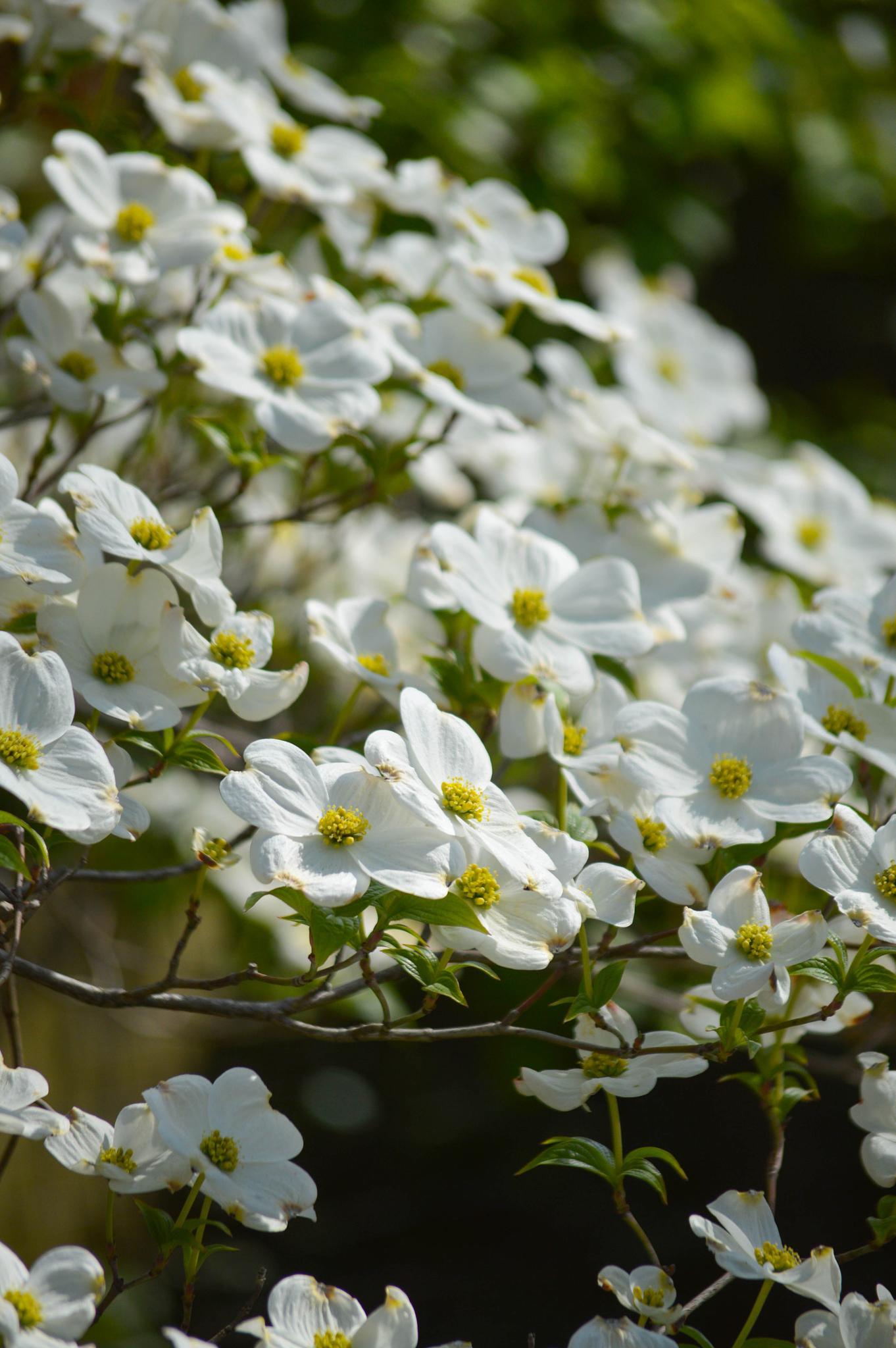 Blooming tree by Rhondasims