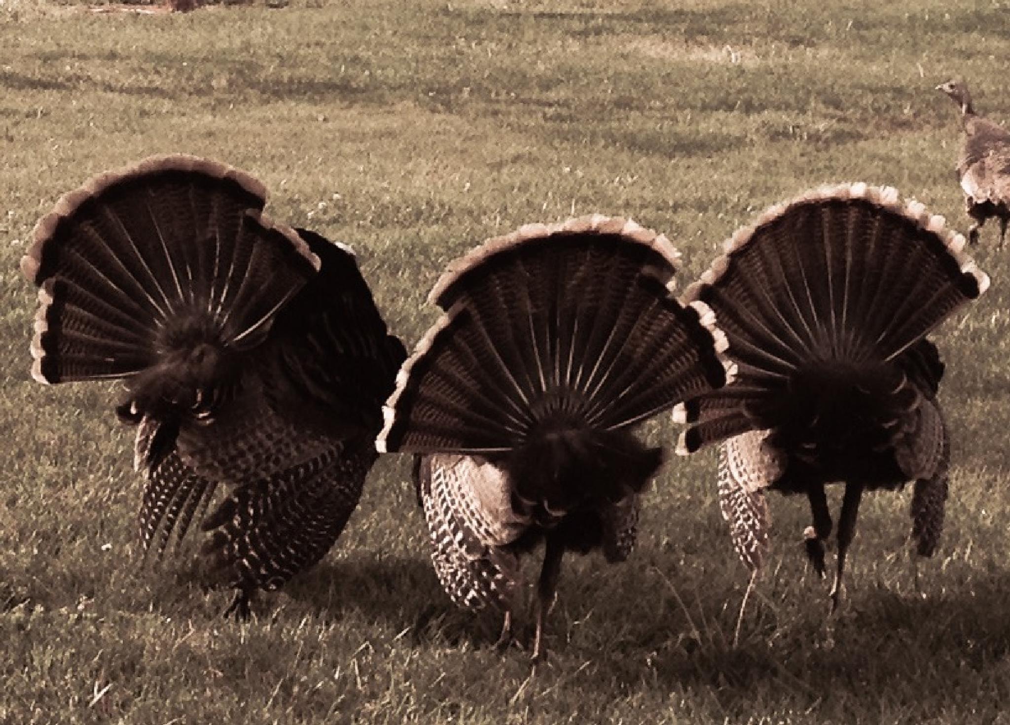 Turkeys struttin' their stuff by kkstephenson