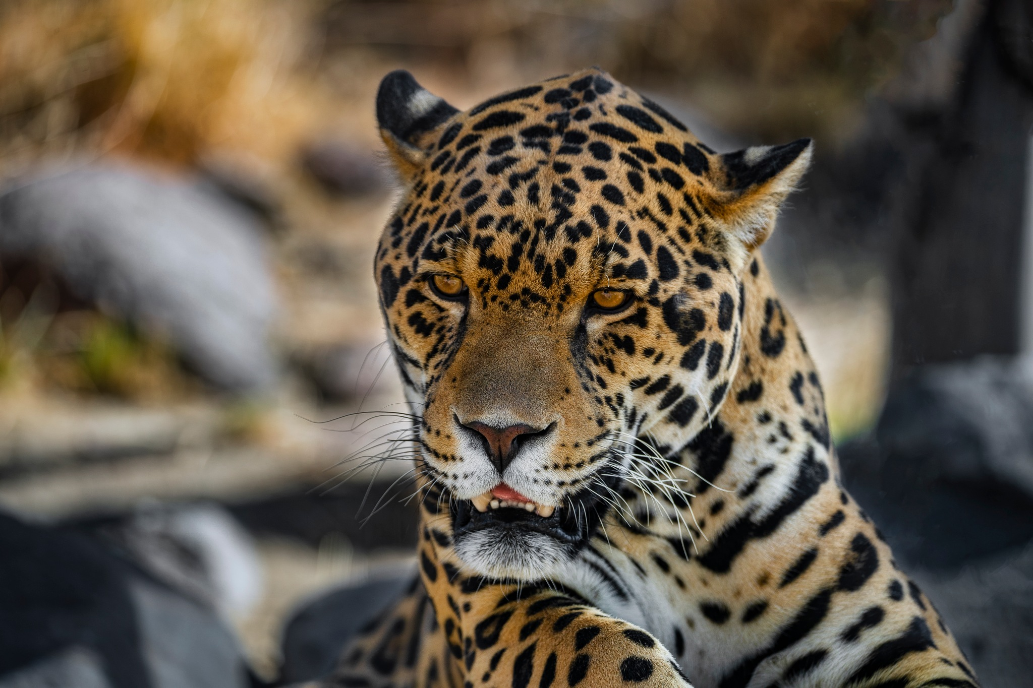 El Santo the Jaguar by Ed Stilwell