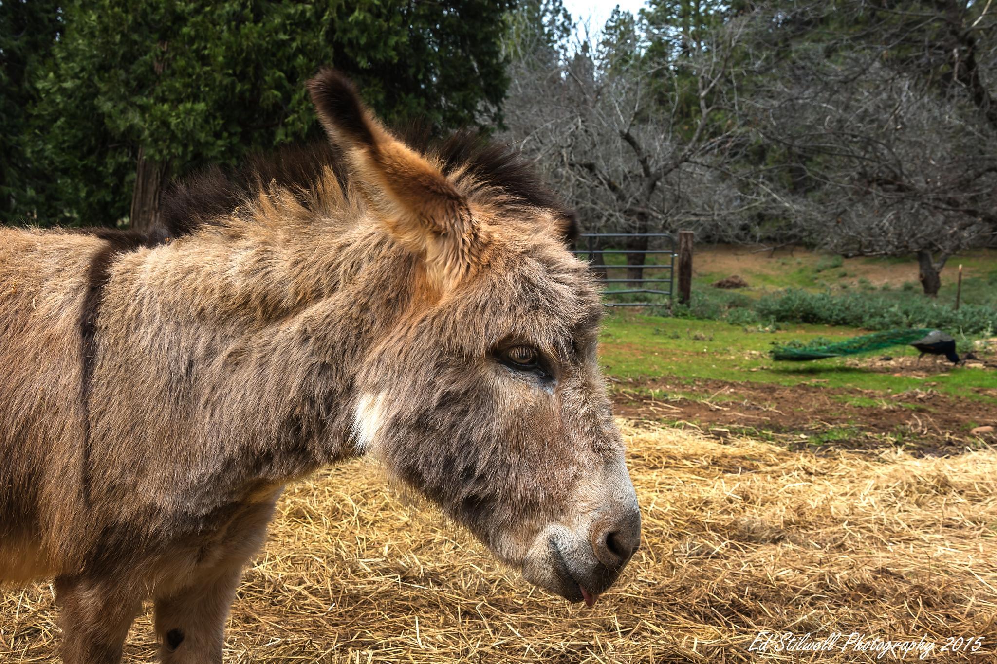 Dwarf Donkey by Ed Stilwell