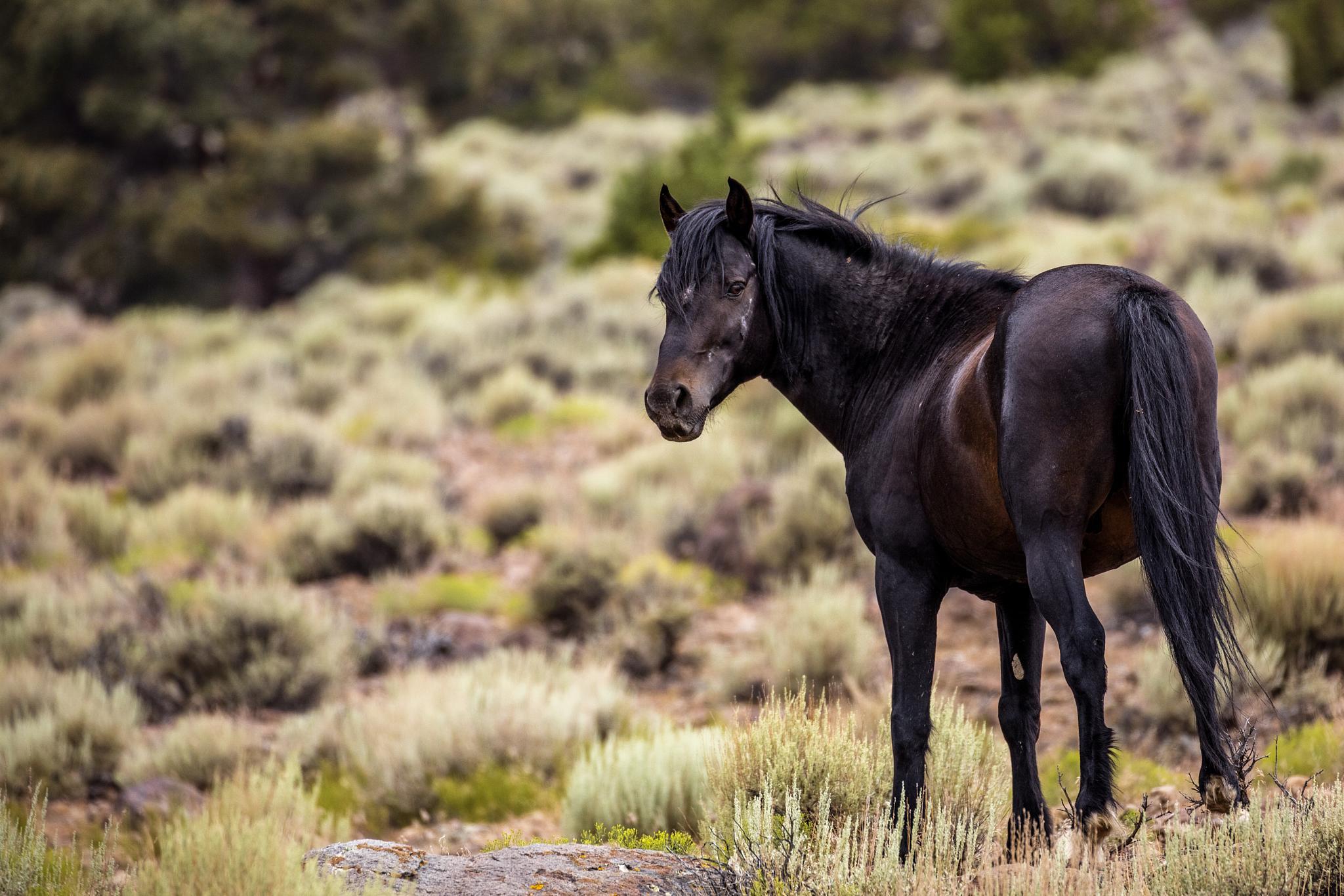 Photo in Animal #horses #wild horses #mustangs #stallion