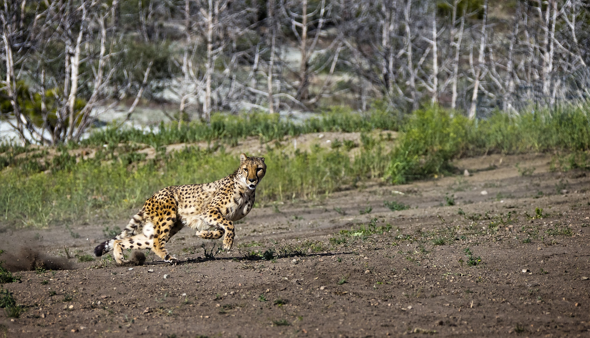 Cheetah  by Ed Stilwell