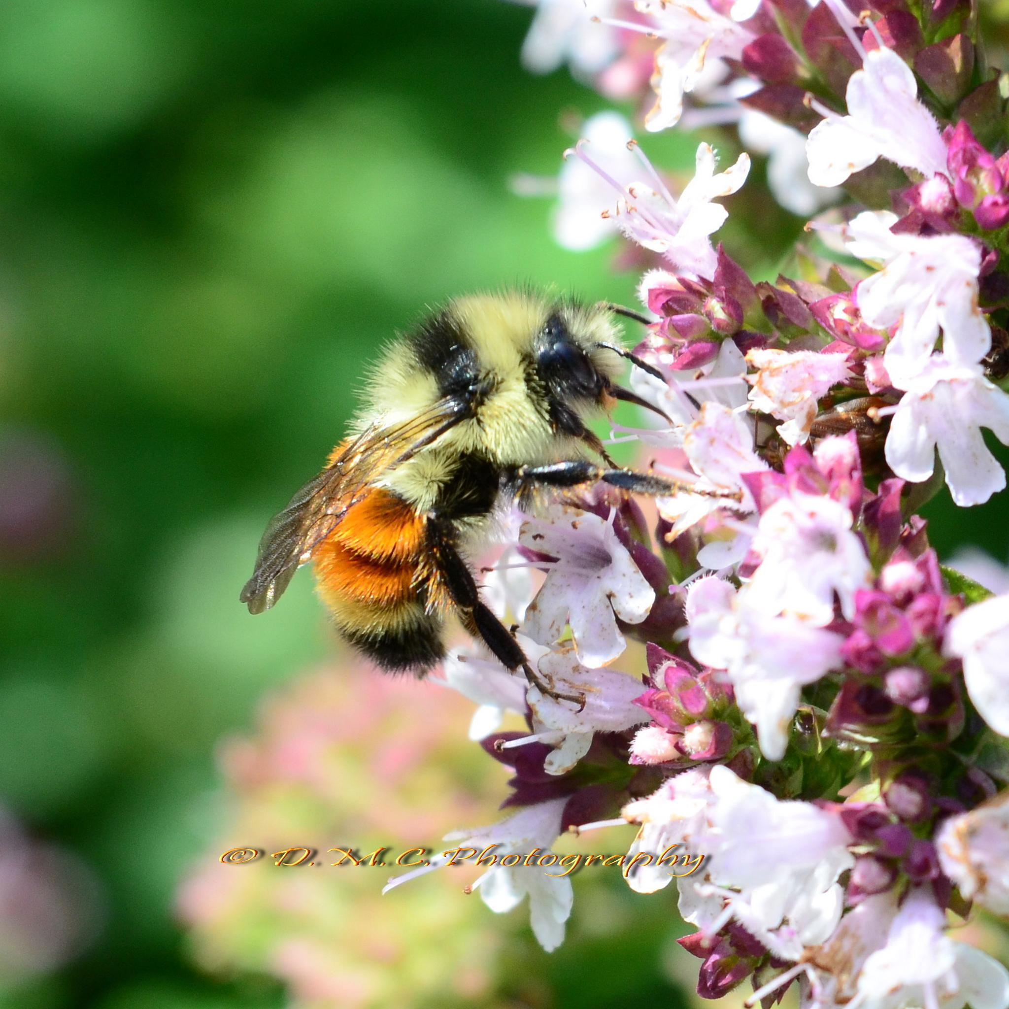 Bumble Bee on Oregano Flowers by D M Camps Photography