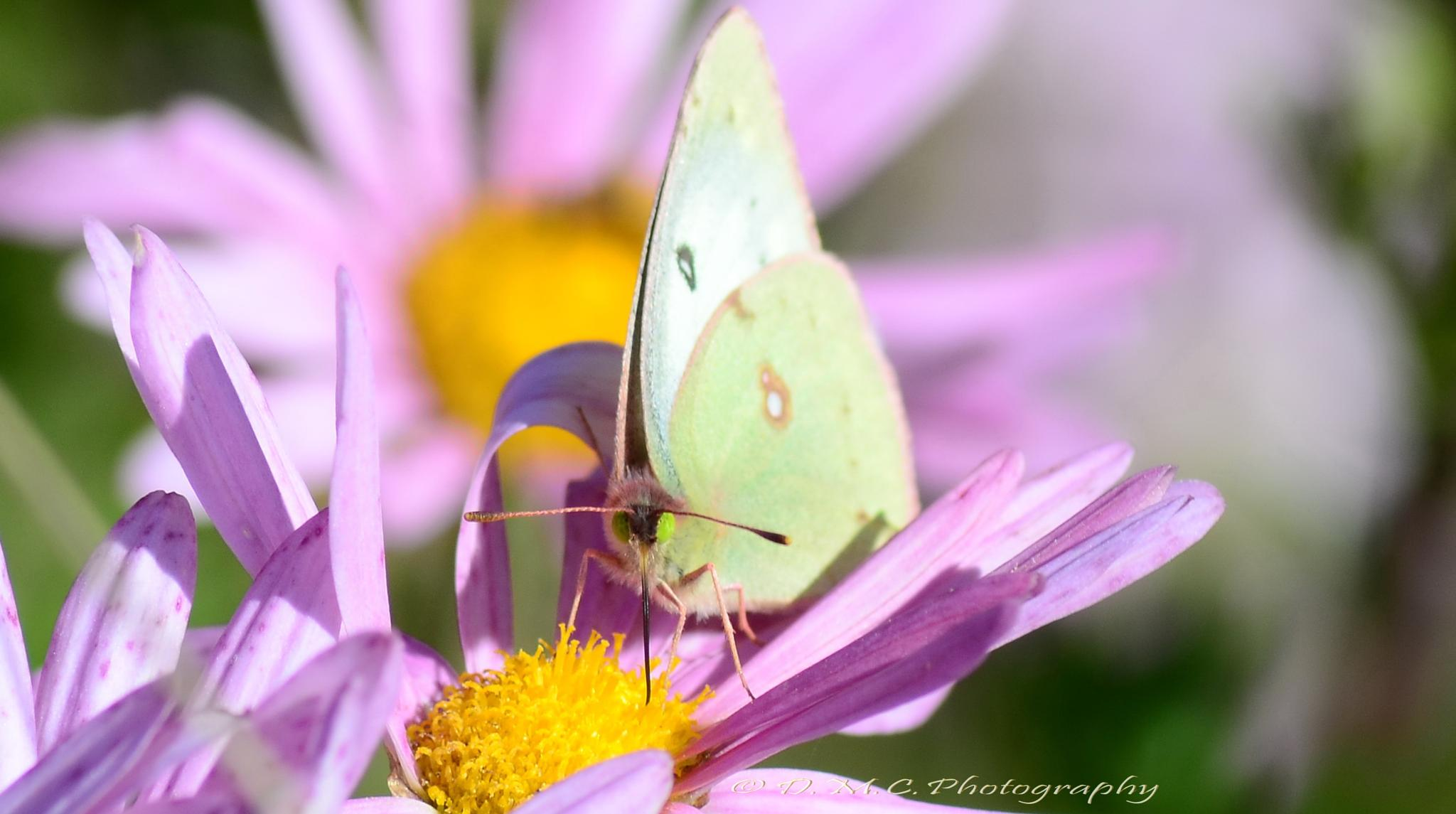 Common Sulphur Butterfly by D M Camps Photography