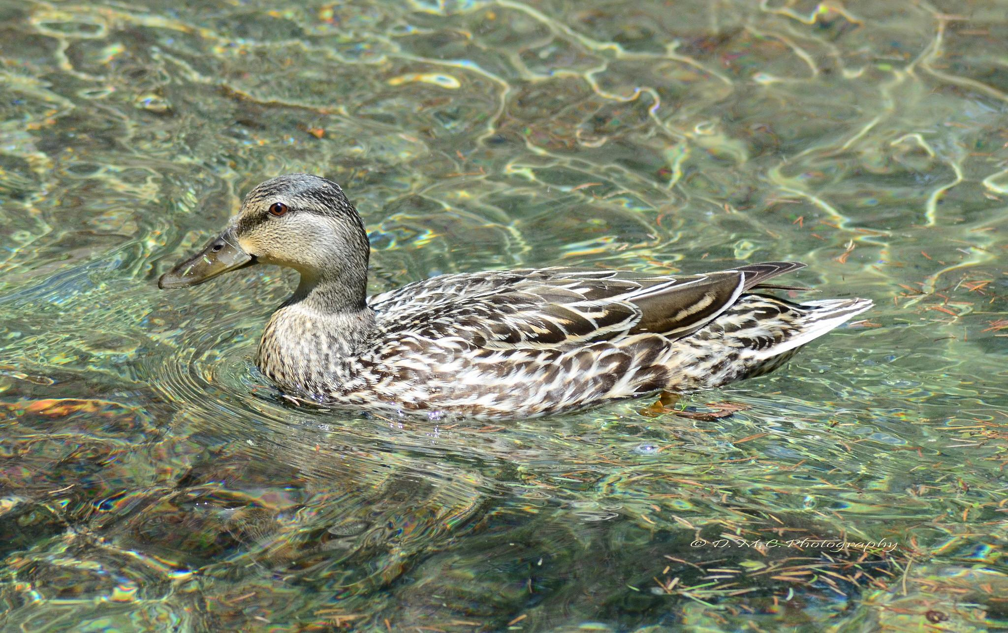 Female Mallard Duck by D M Camps Photography