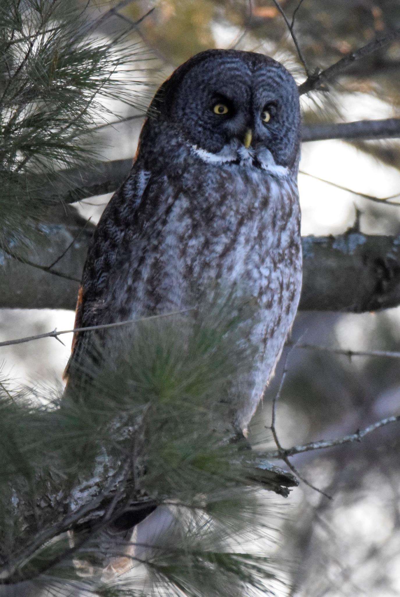 Great Gray Owl by Steve Hinman