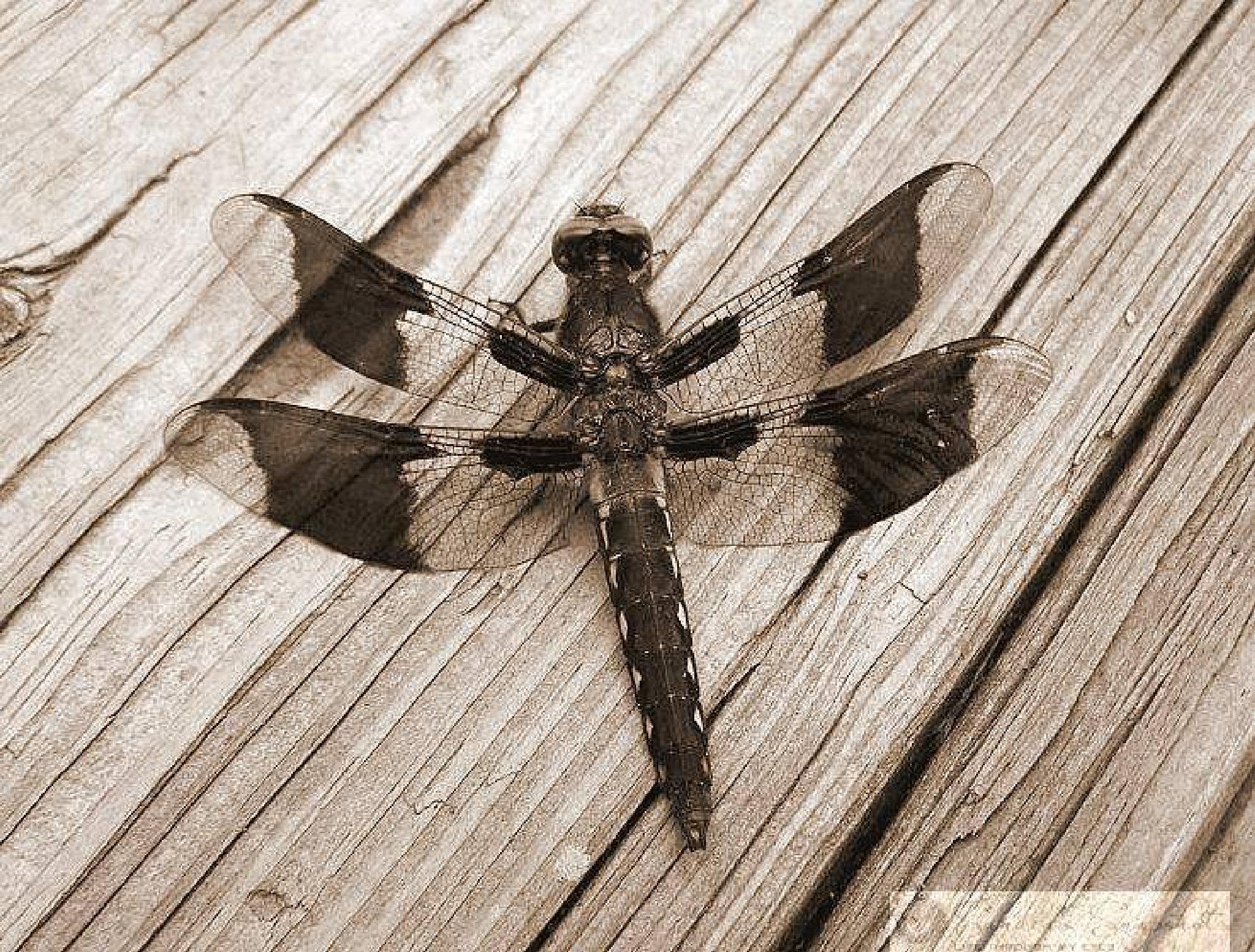 Dragonfly by sandras.snapshots