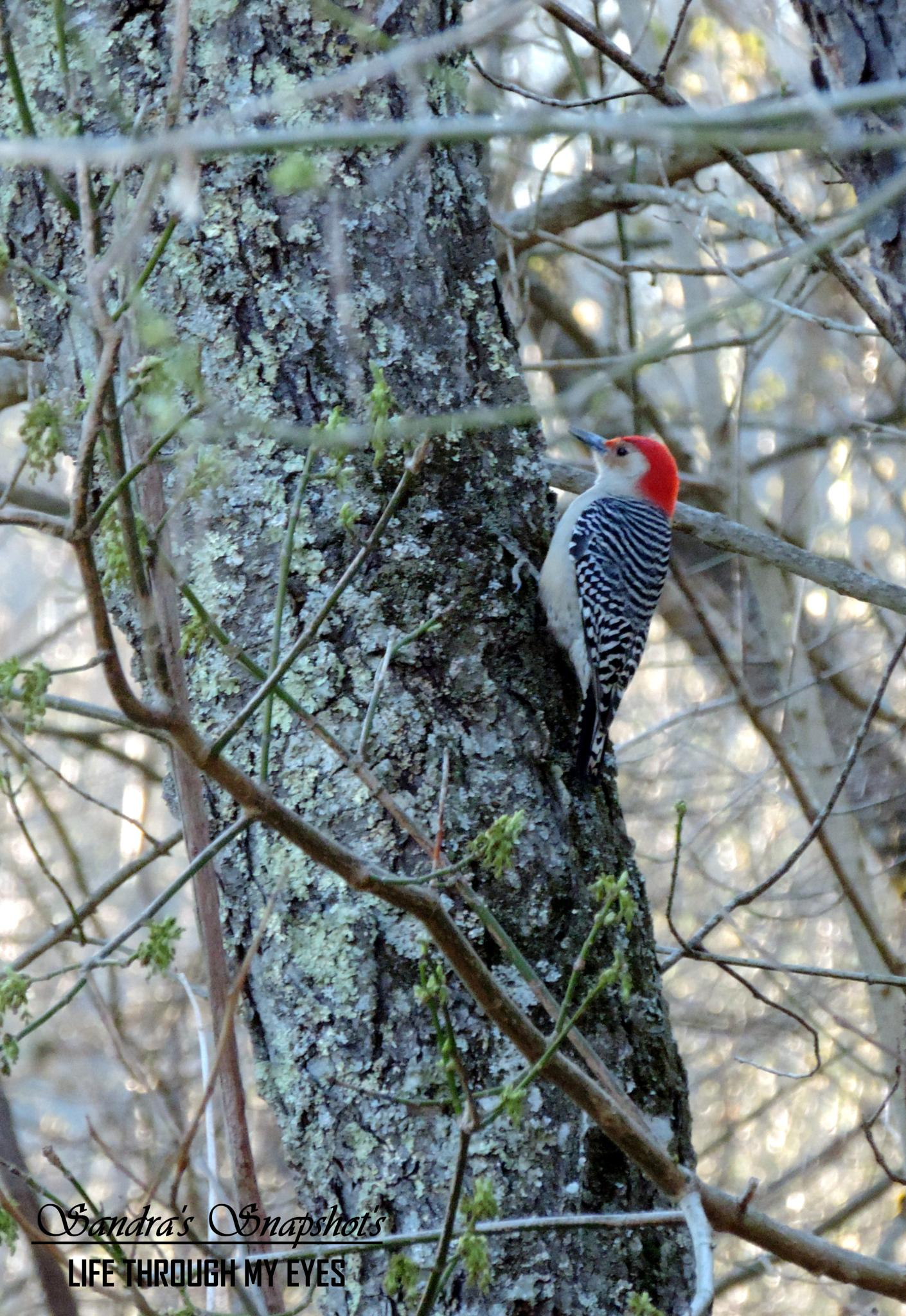 Perched Woodpecker by sandras.snapshots