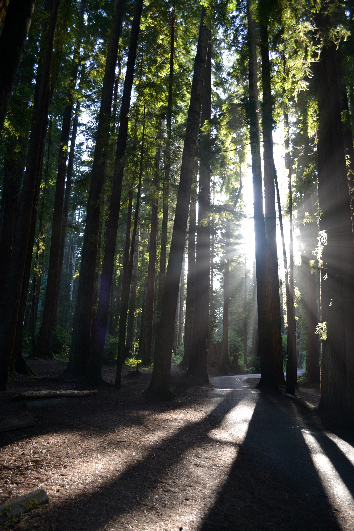 Sequoia Sunlight by ddragonstyle
