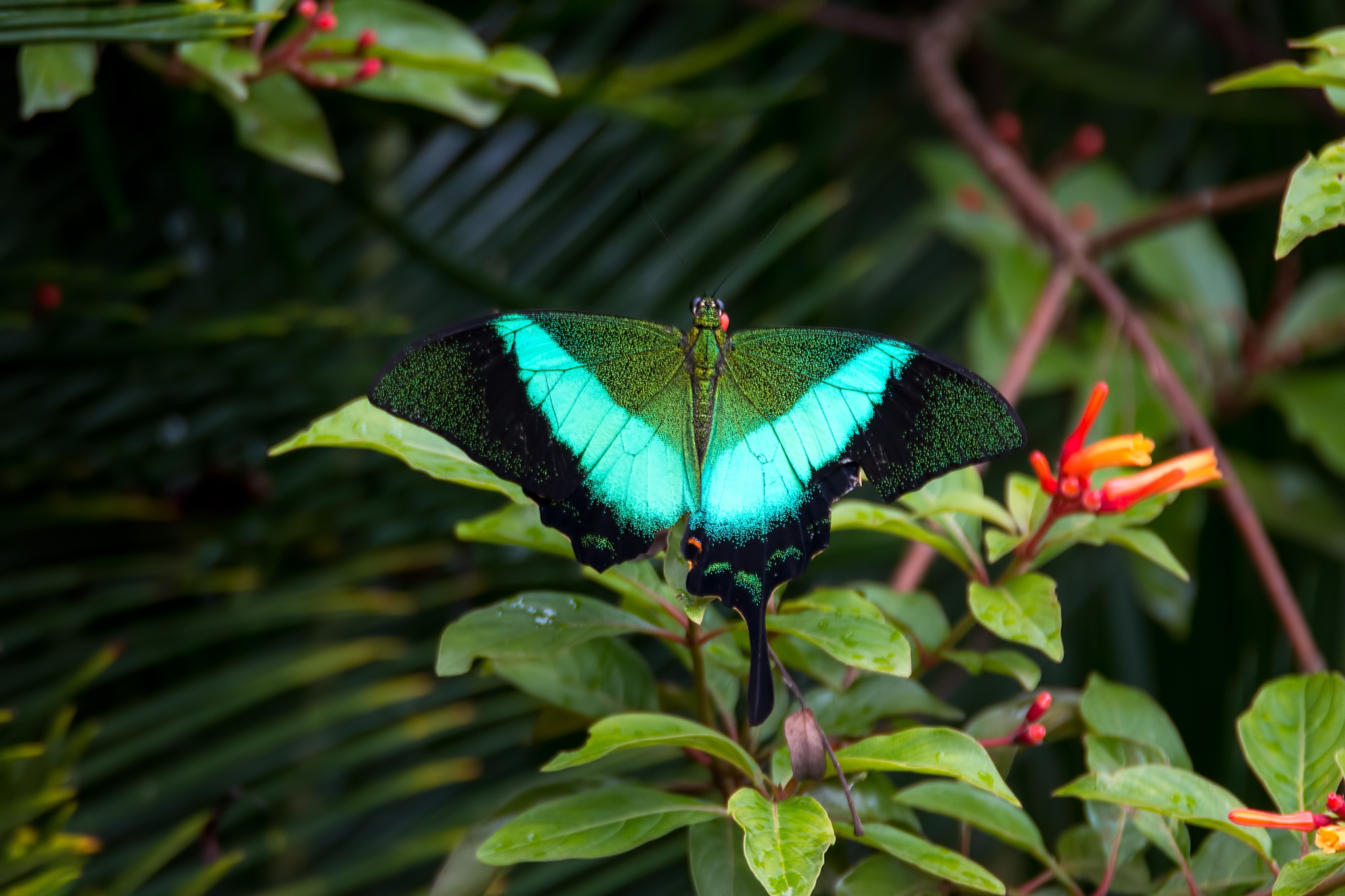 Emerald Swallowtail by Malcolm