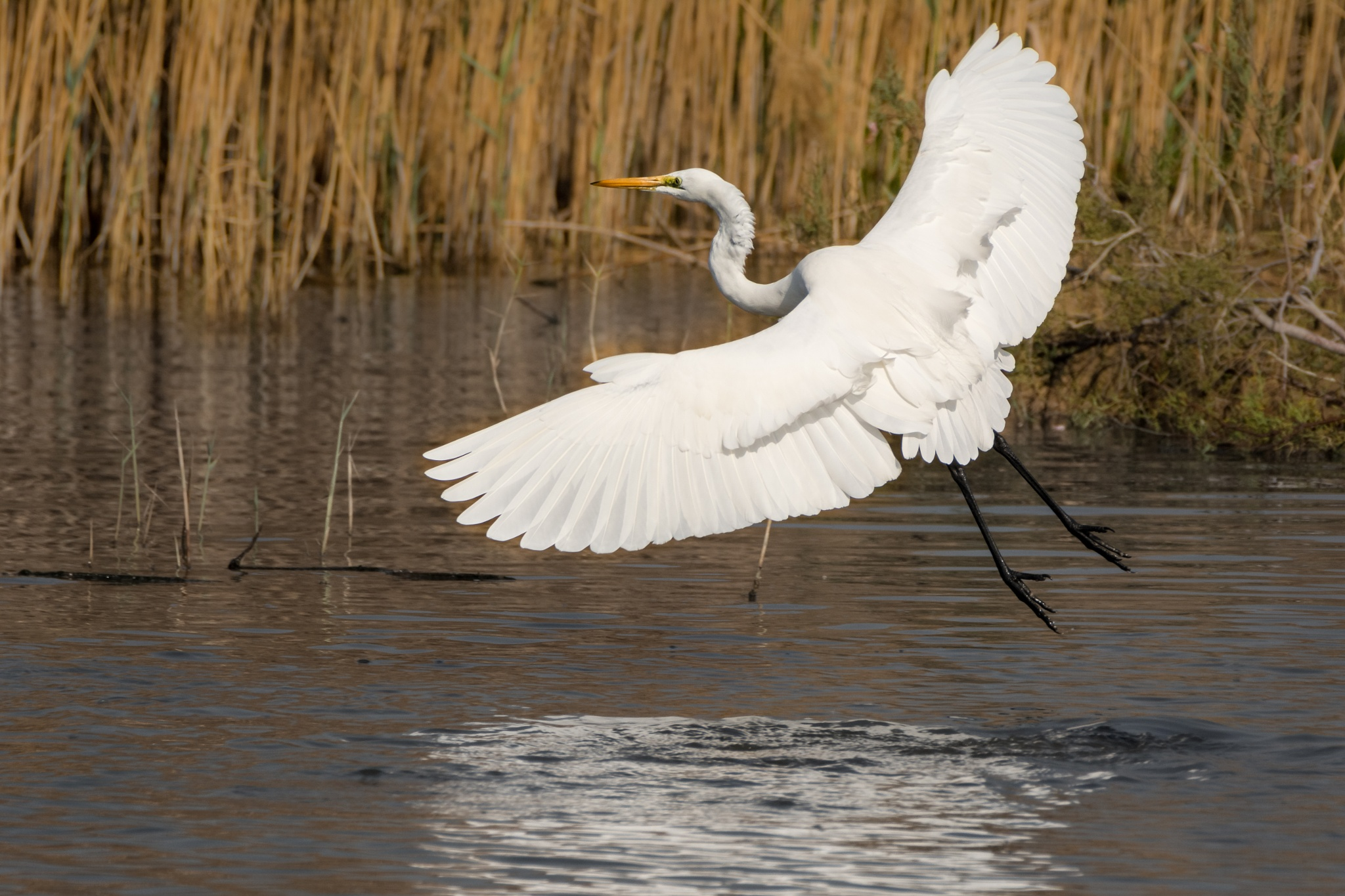 Great egret - Take off by Malcolm