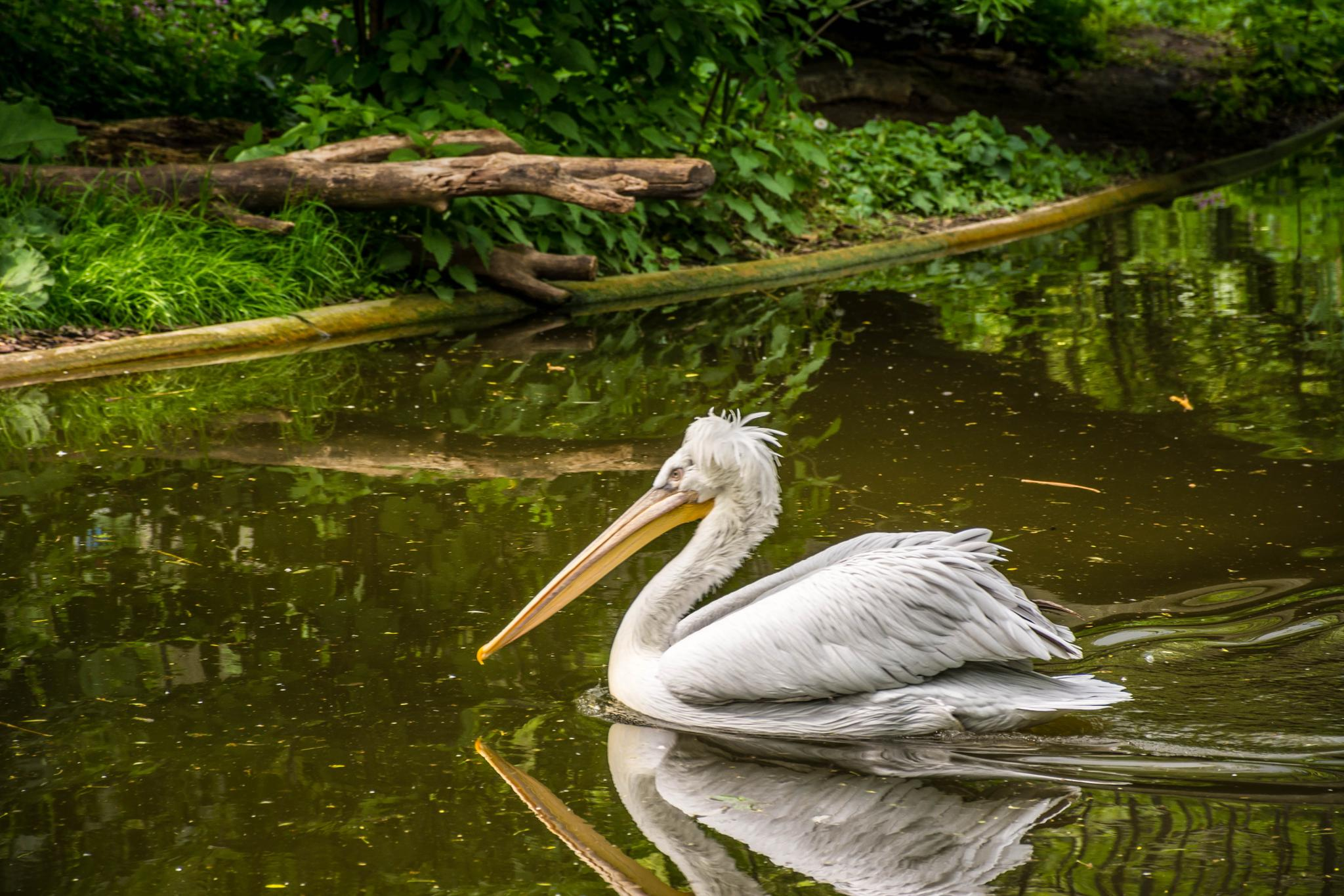 Pelican by Malcolm
