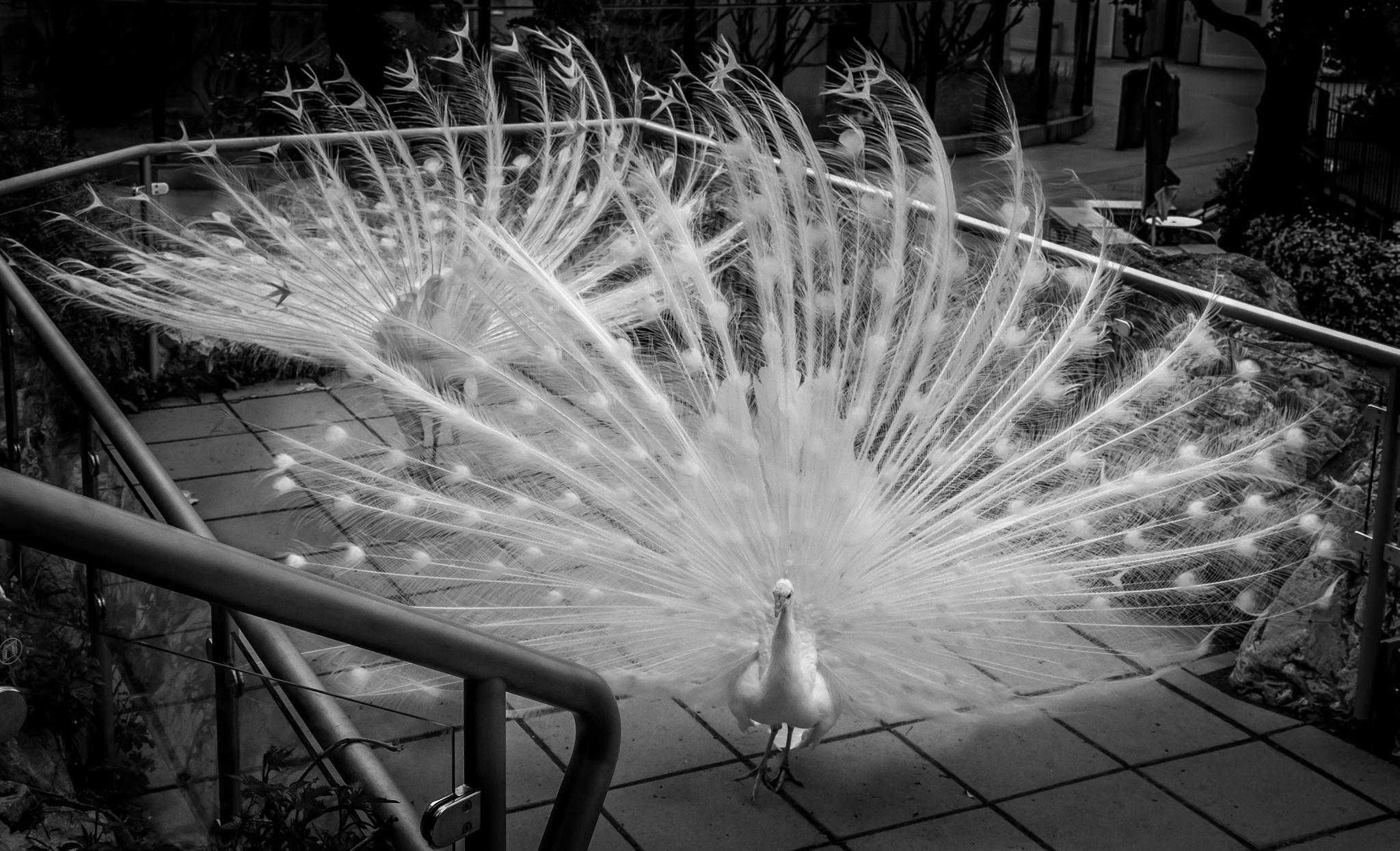 Dancing white peacocks by Malcolm