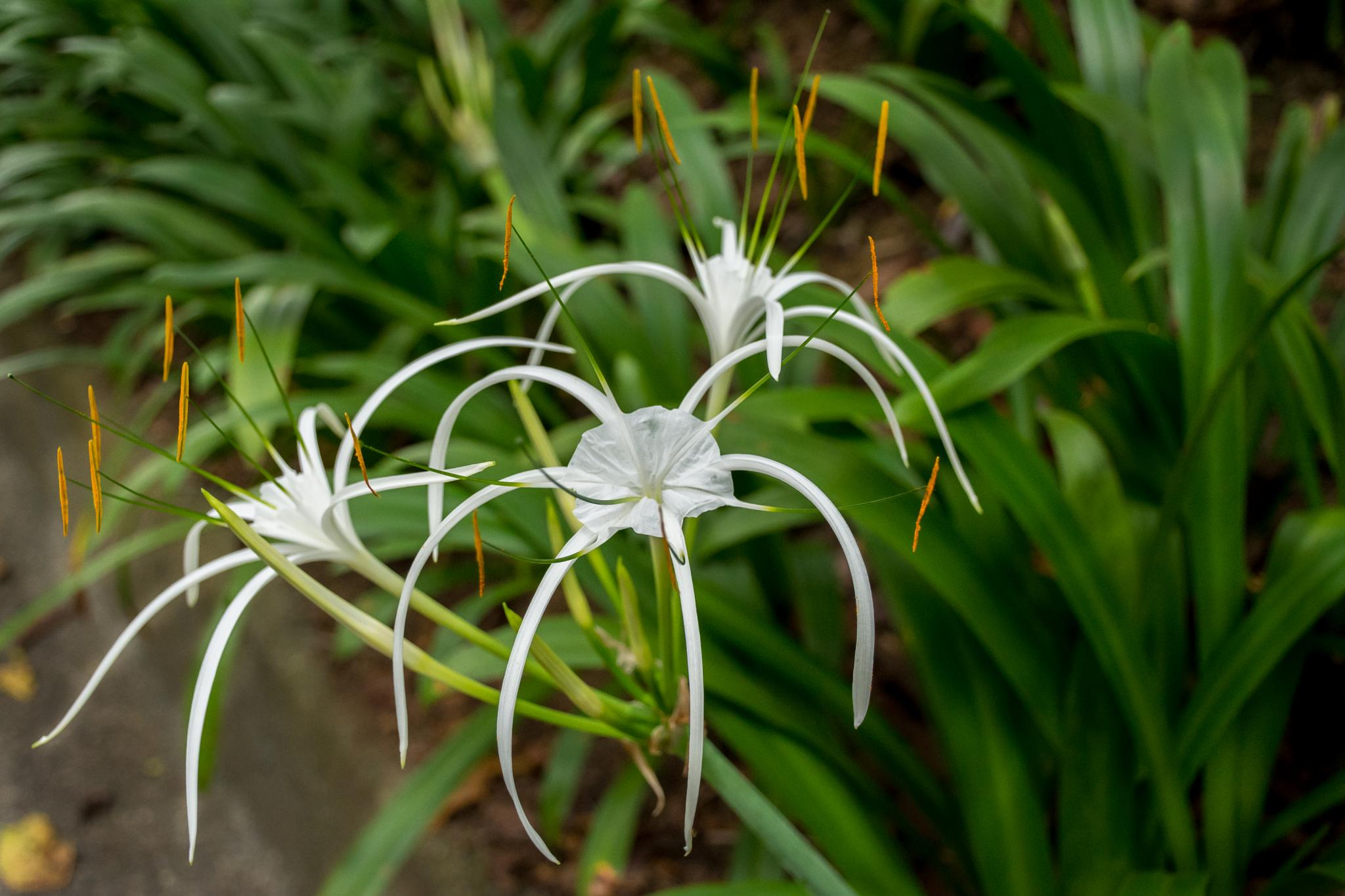 Spider lily by Malcolm