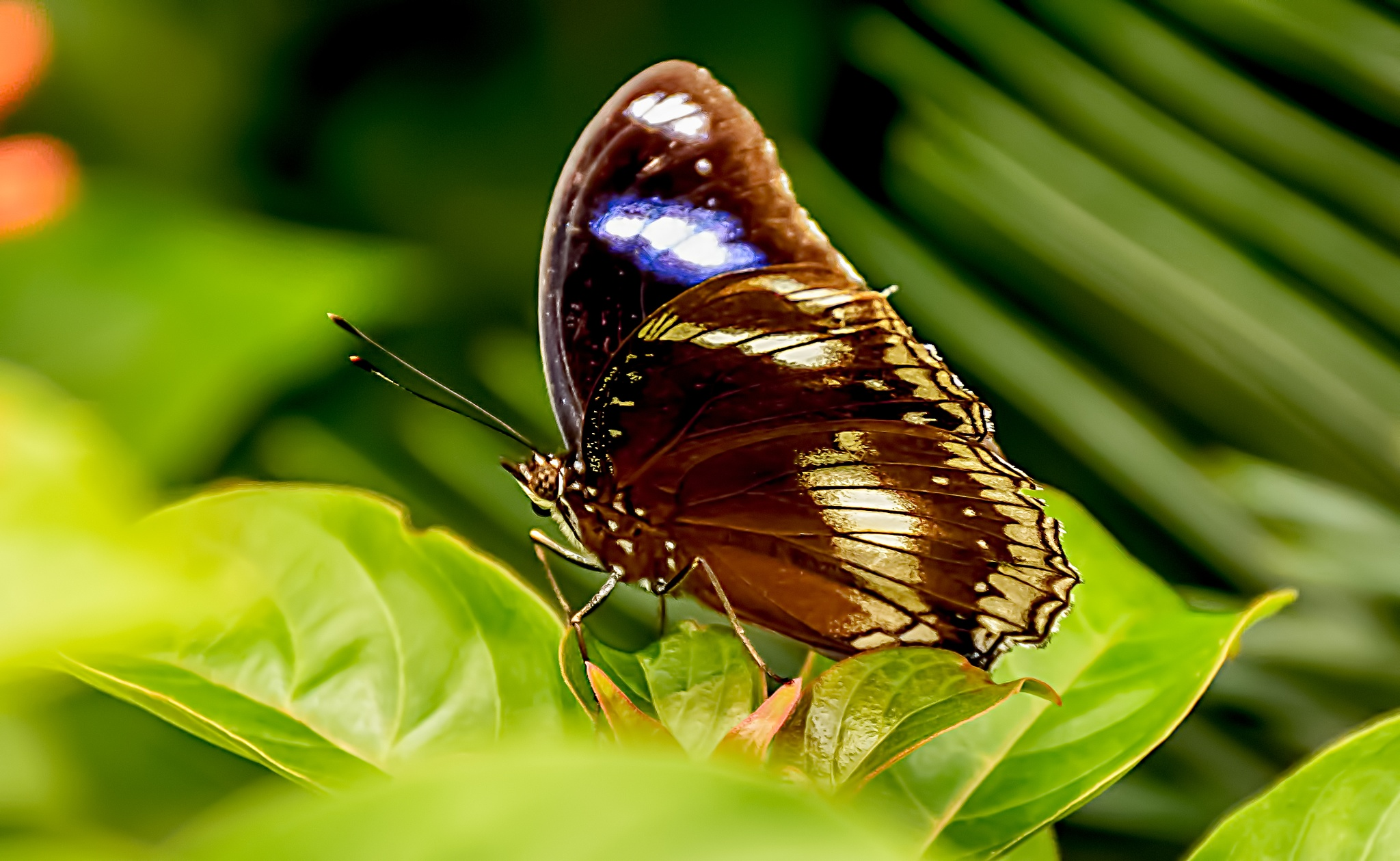 Blue moon butterfly on a leaf by Malcolm