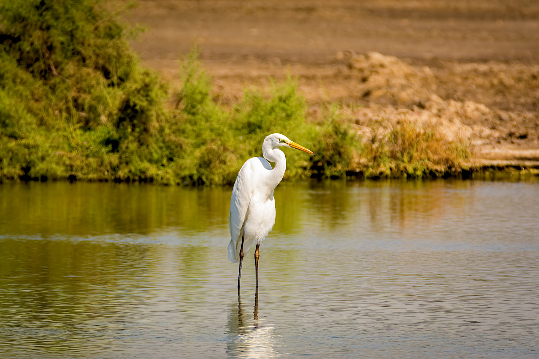 Great egret by Malcolm