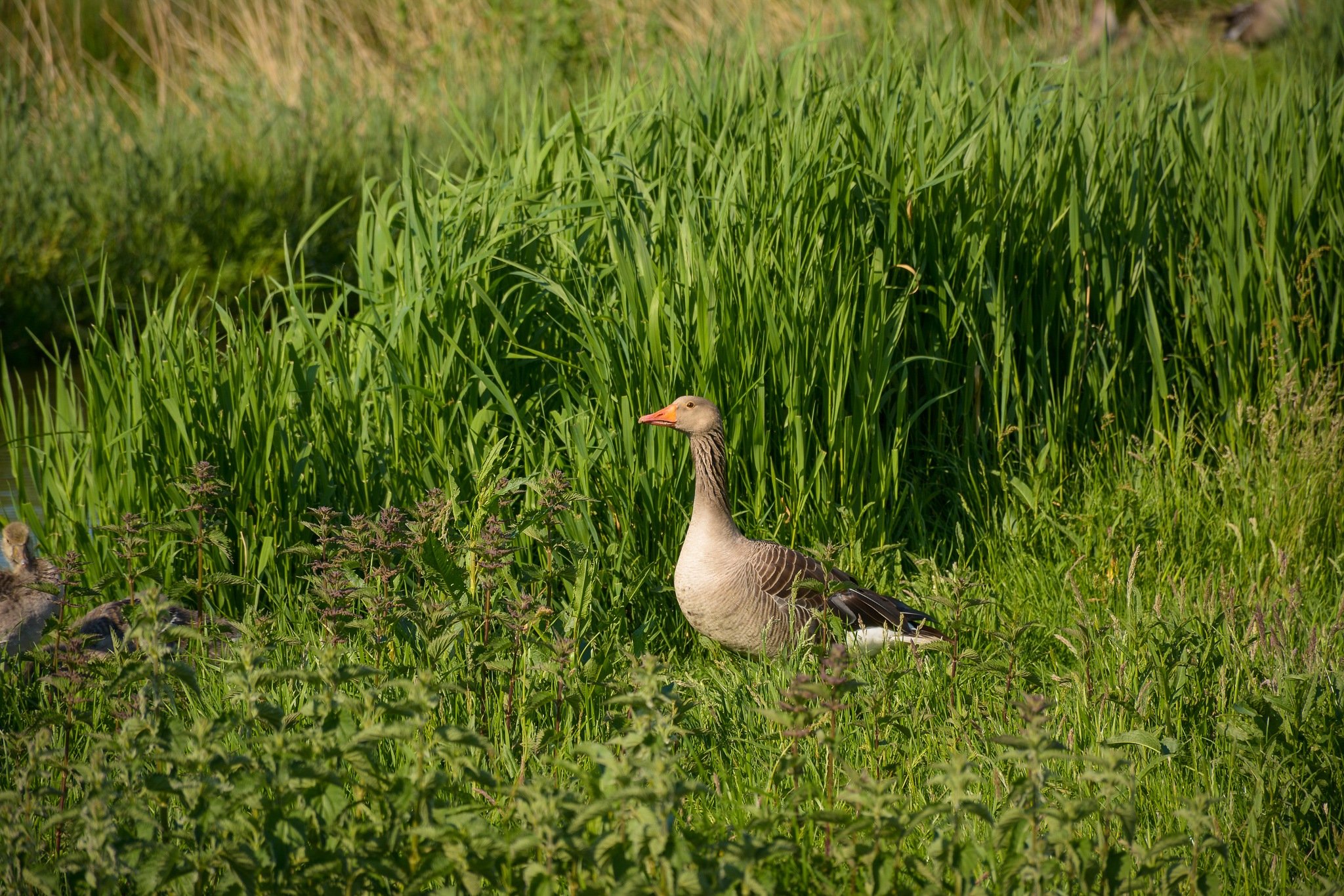 Goose and a gosling by Malcolm