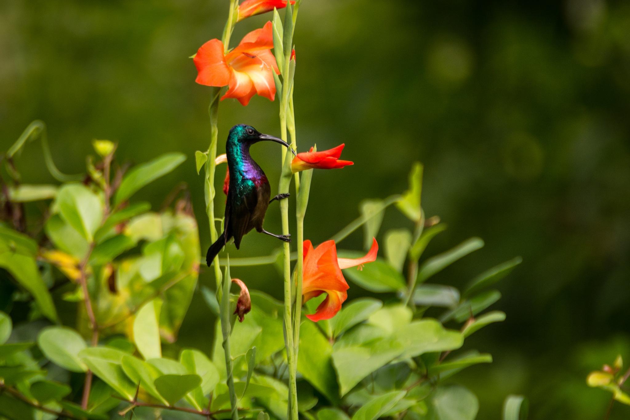 Loten's sunbird by Malcolm