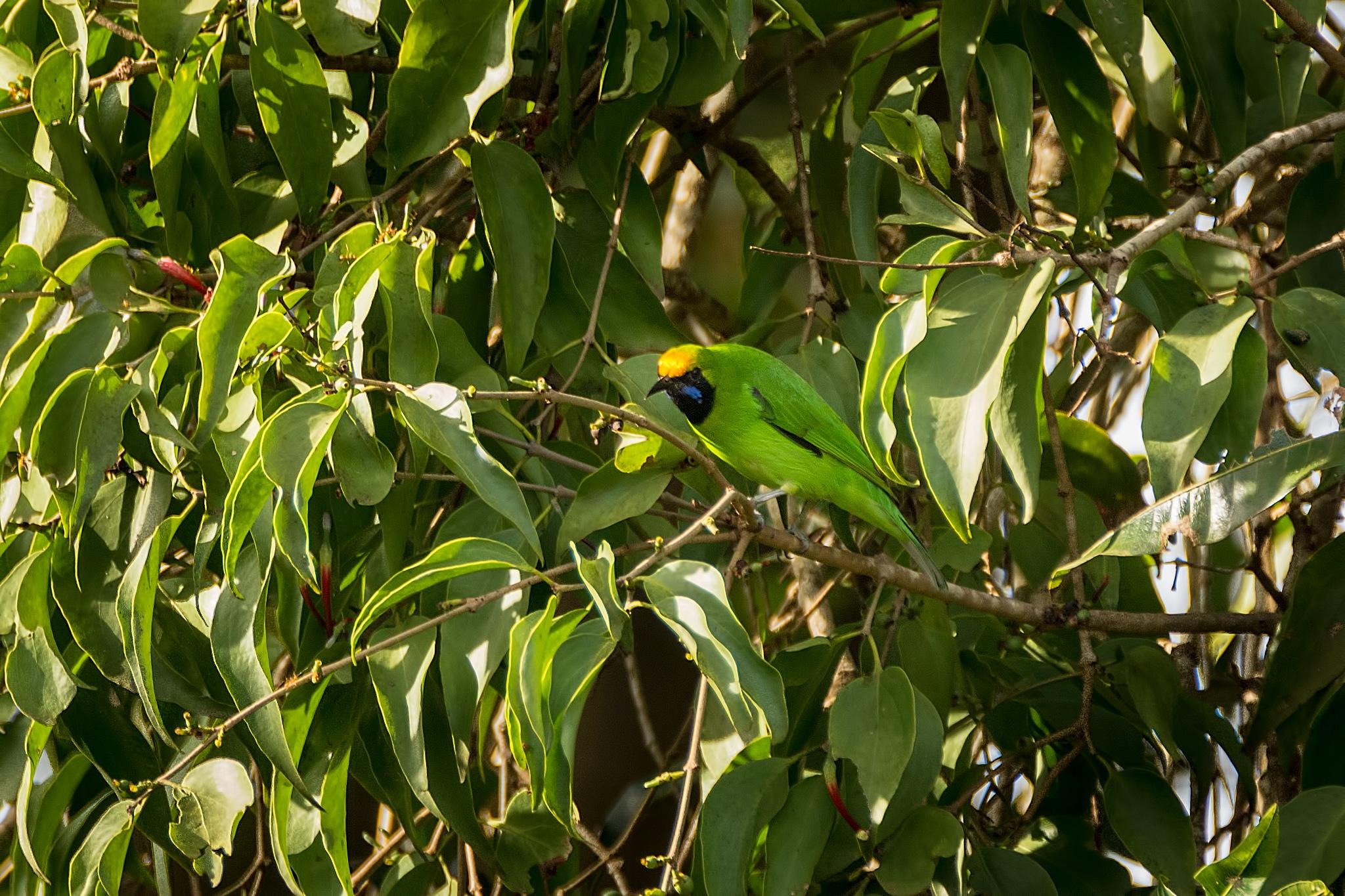 Leafbird by Malcolm