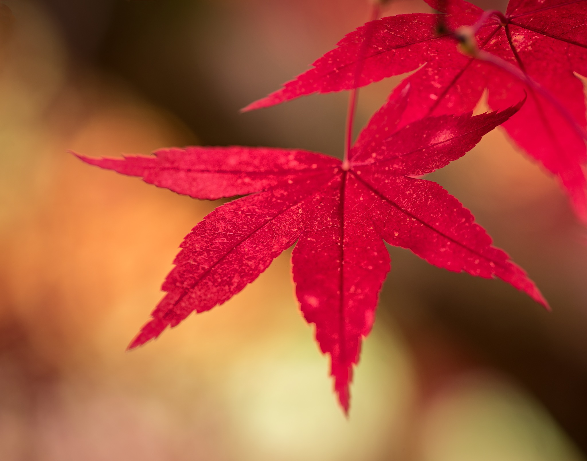 Chinese Maple by KarenT