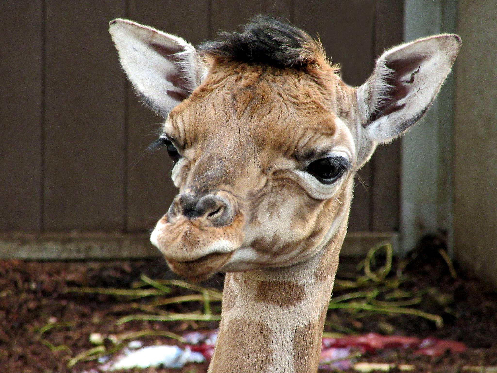 Baby Giraf  by Joctje