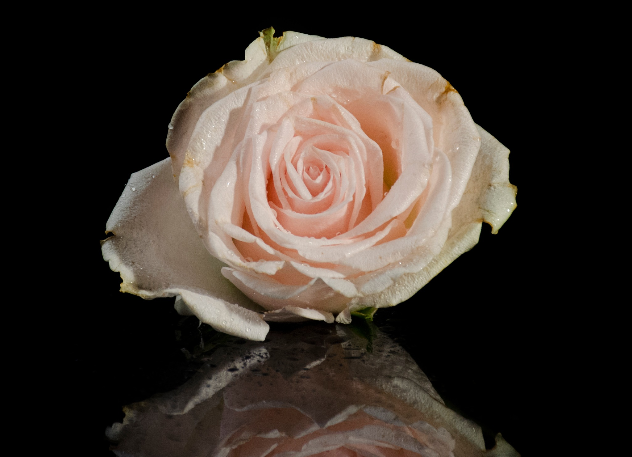 White rose by marokkyprianou