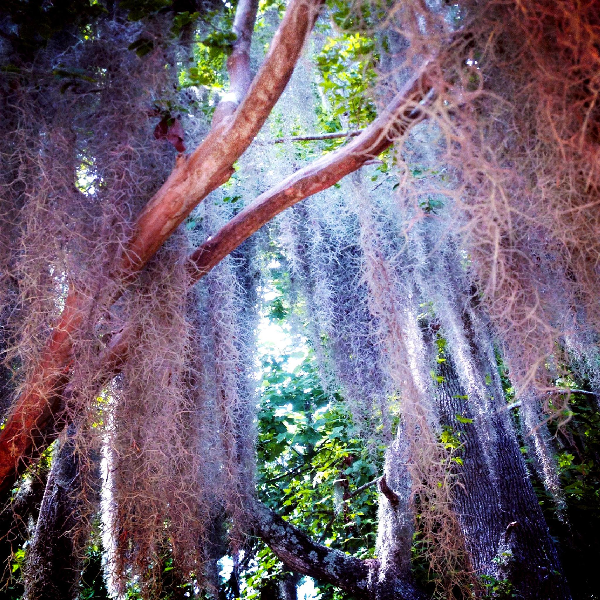 Spanish Moss  by michelle.flores3