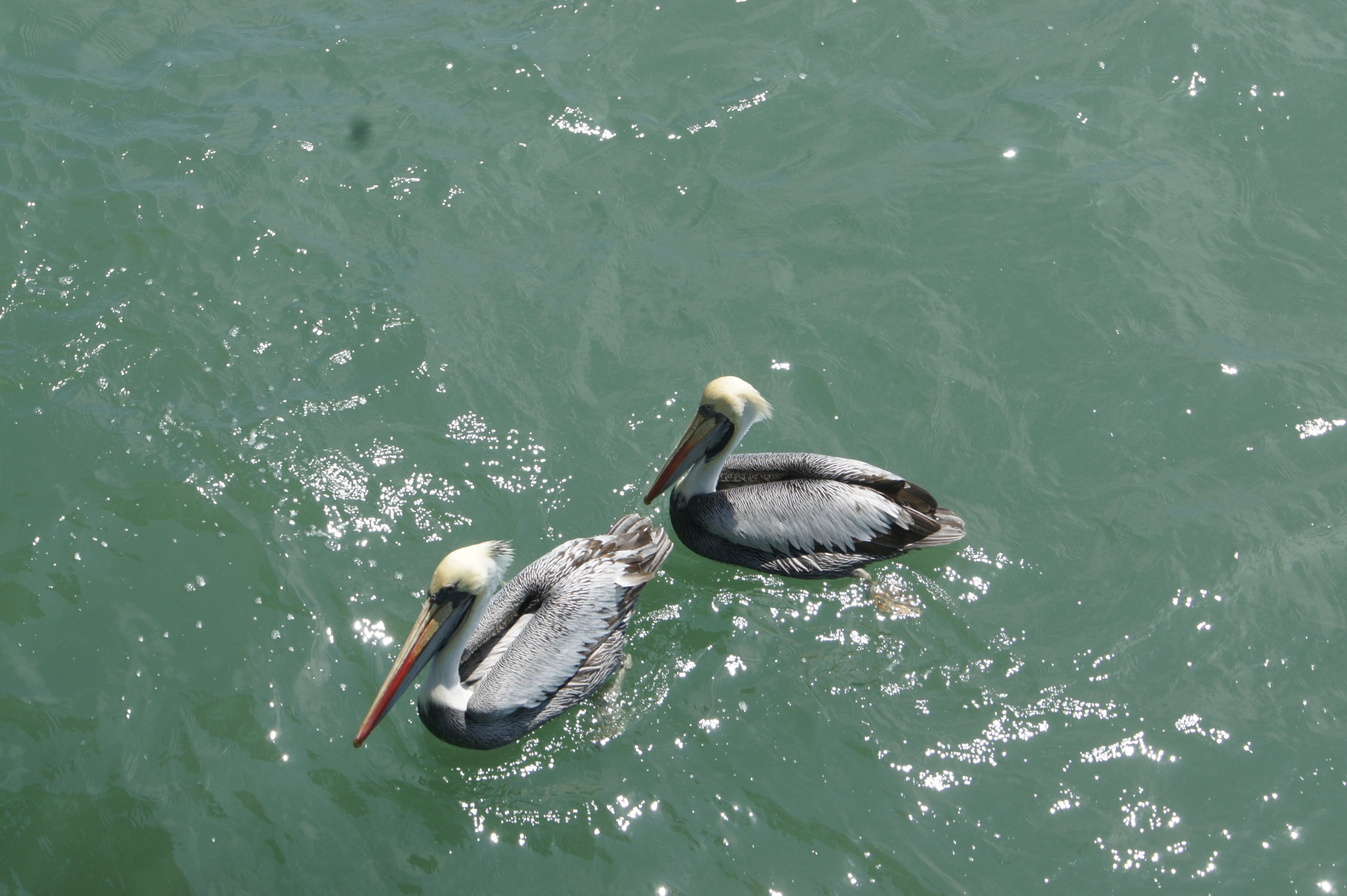Pacific Ocean Pelicans by RodhyPhotography