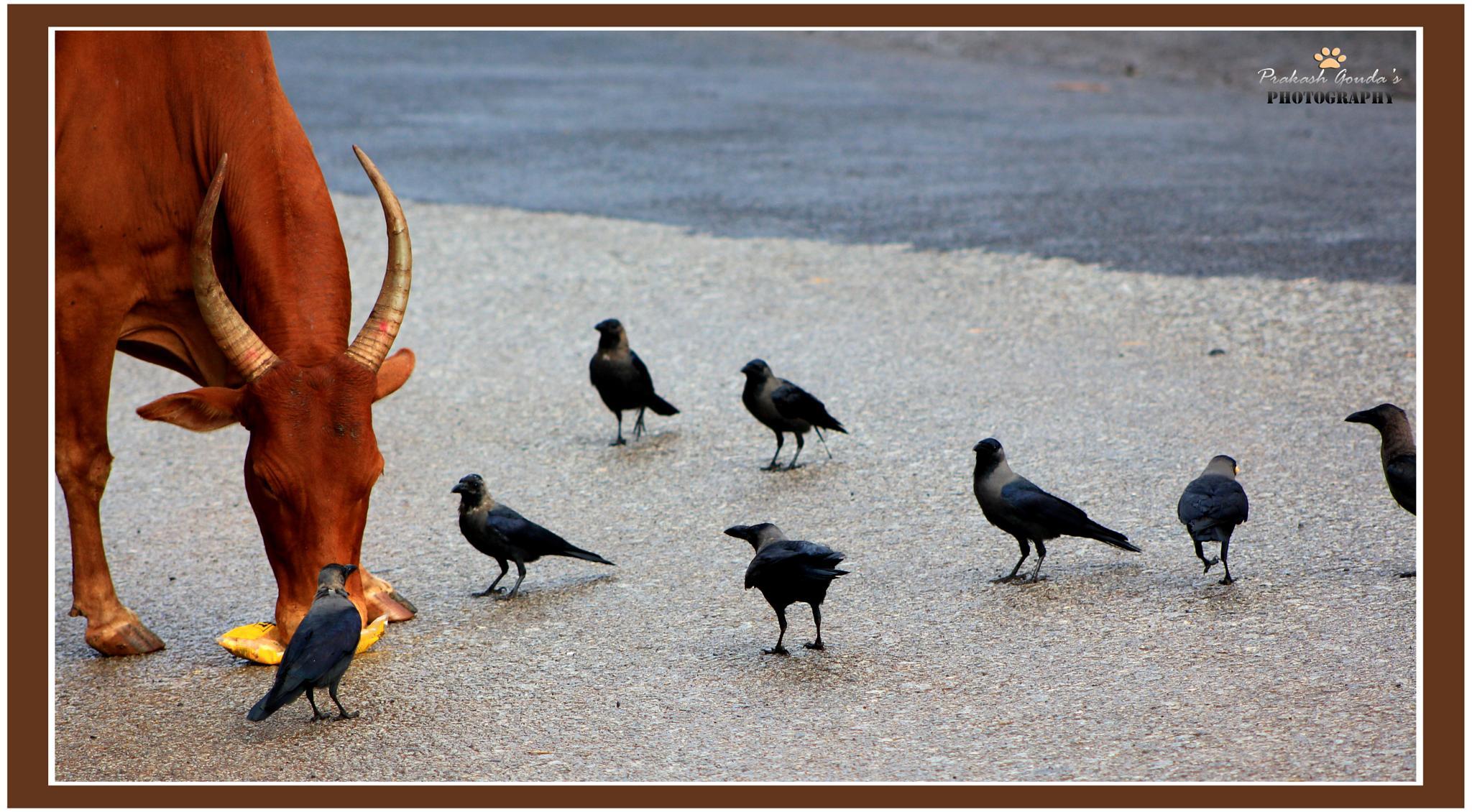 Cow and Crow by PrakashGouda