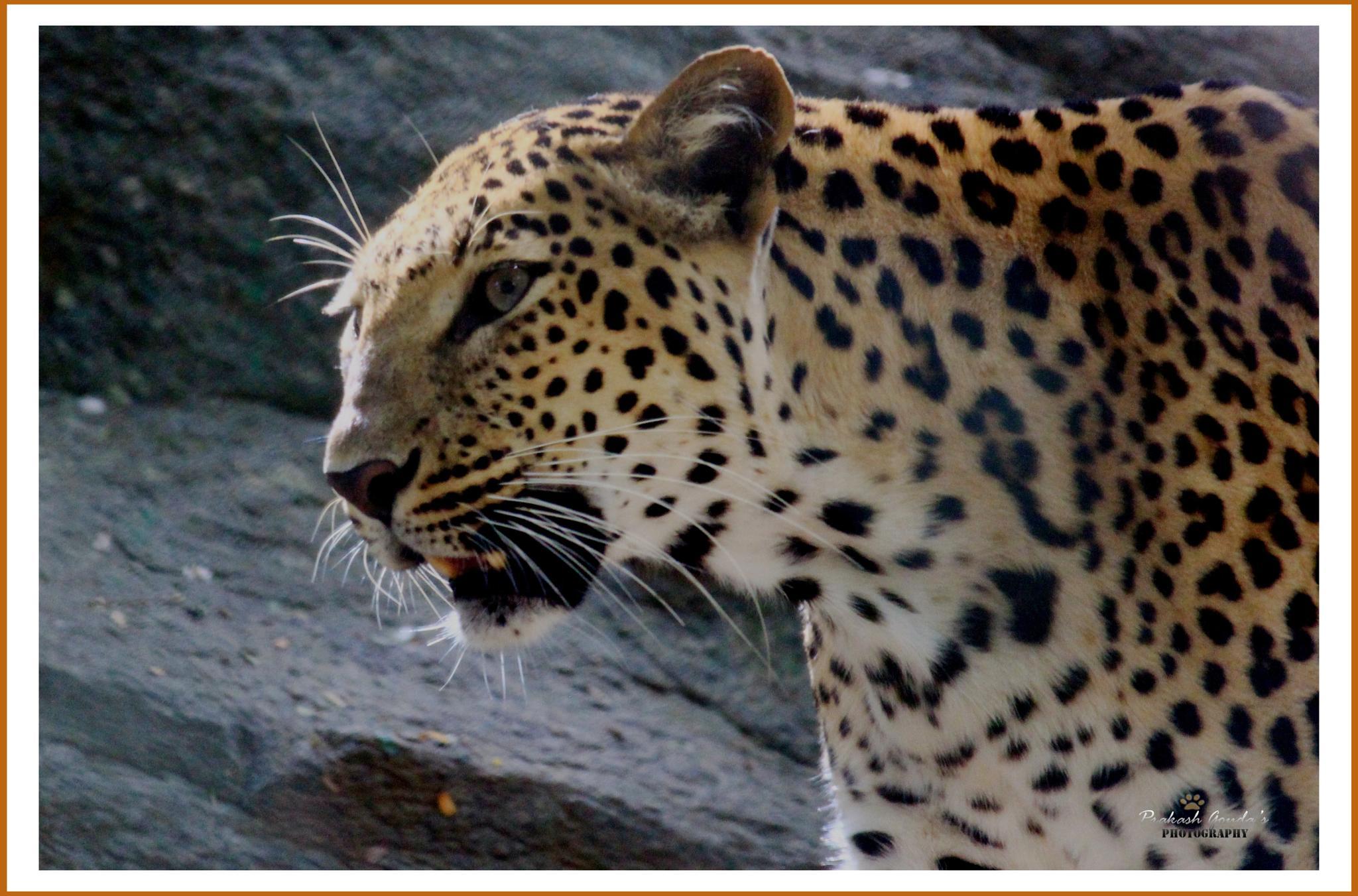Indian Leopard by PrakashGouda