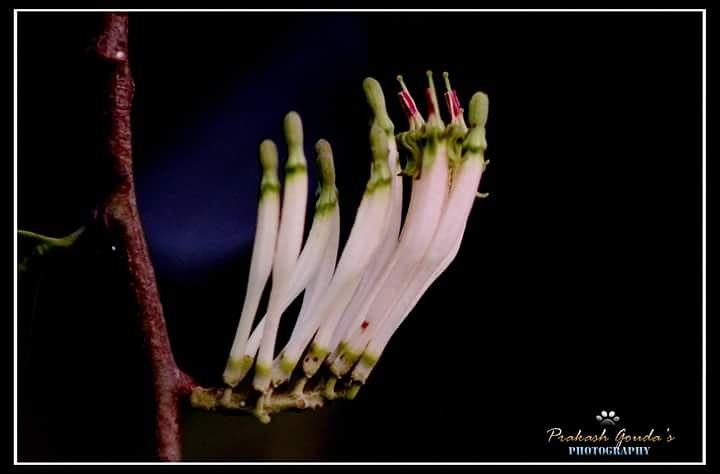 Dendrophthoe falcata by PrakashGouda