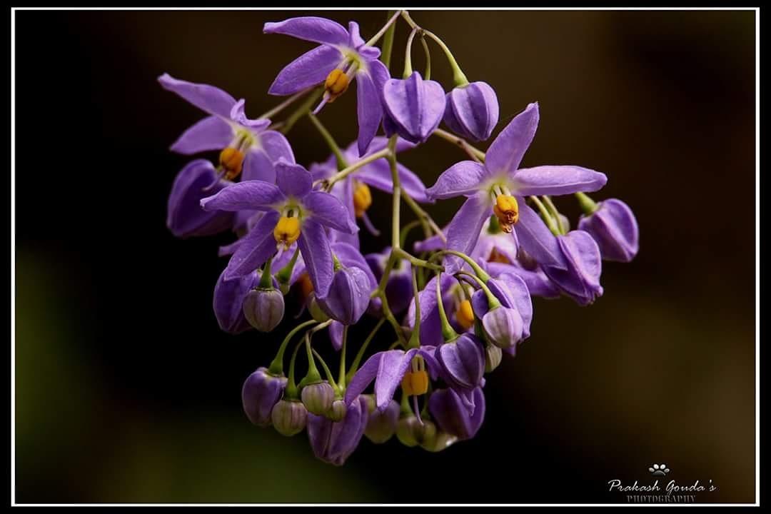 Lovely infloresce by PrakashGouda